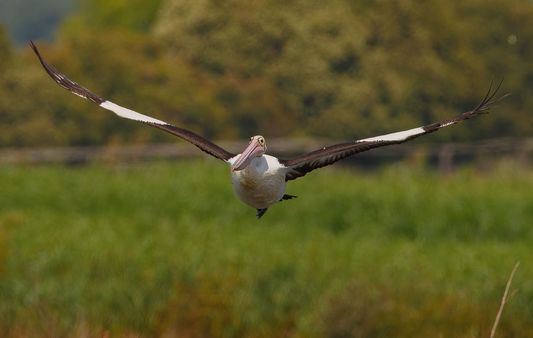 Australian Pelican (Image ID 43531)