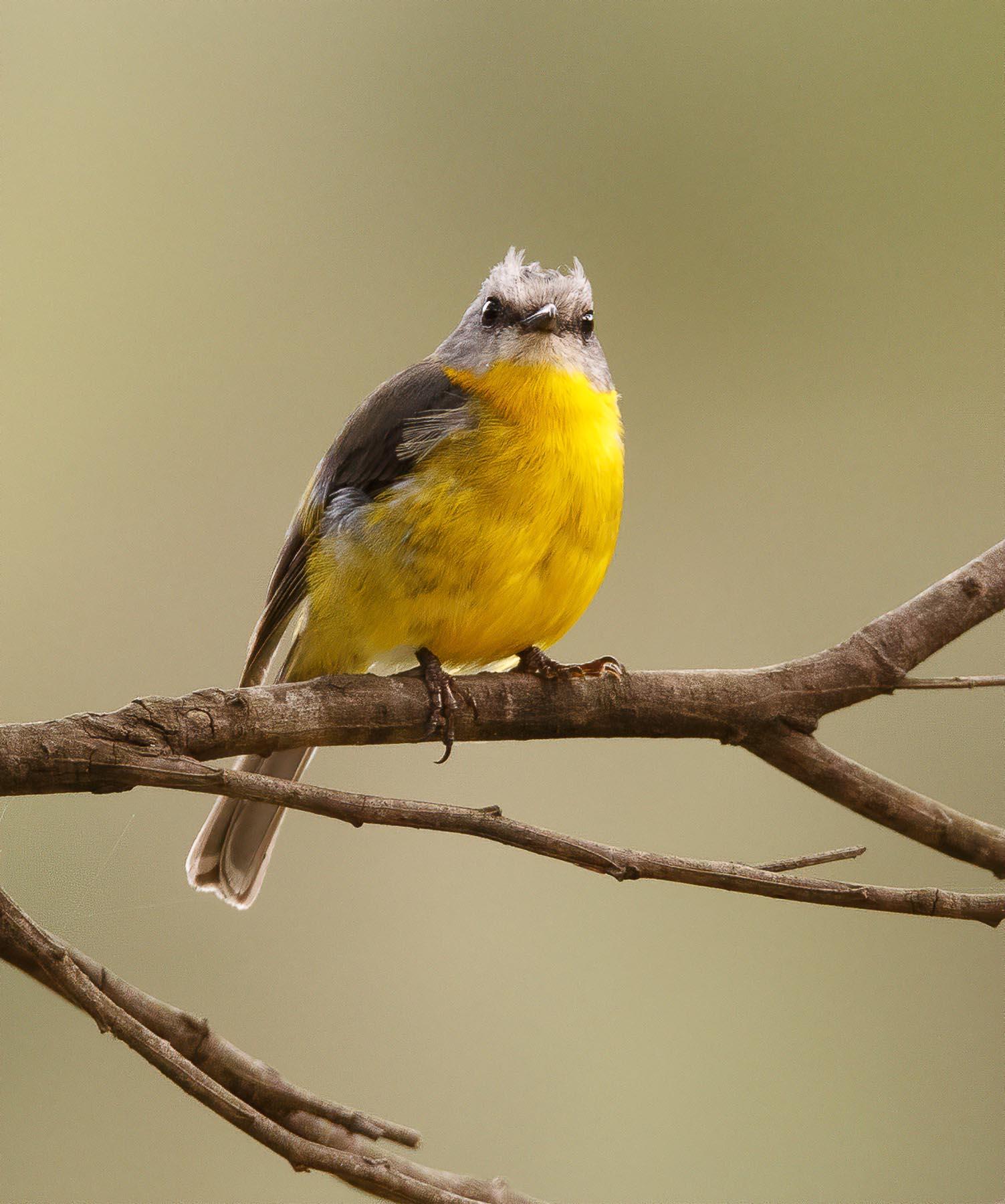 Eastern Yellow Robin (Image ID 43464)