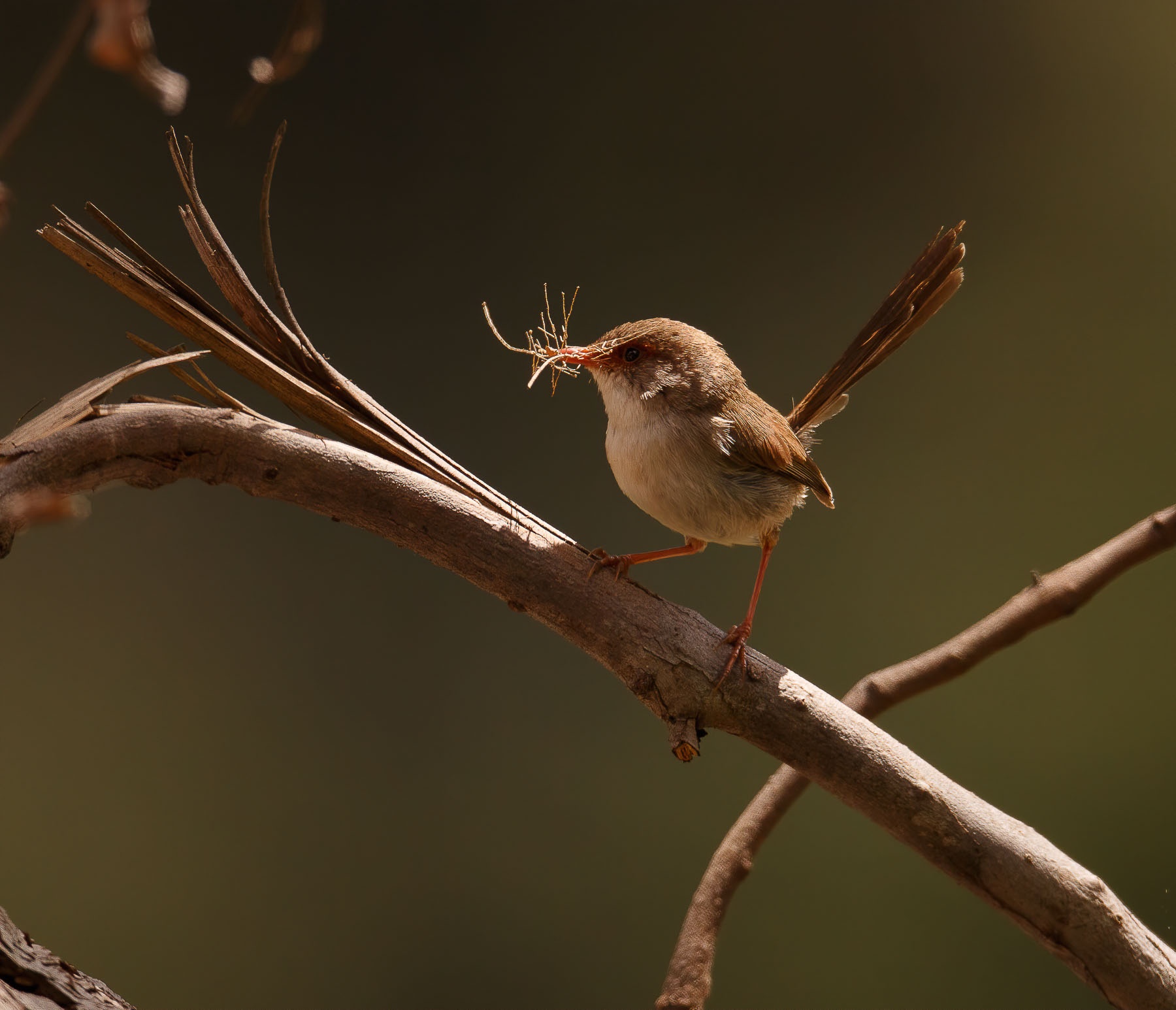 Superb Fairy-wren (Image ID 43465)