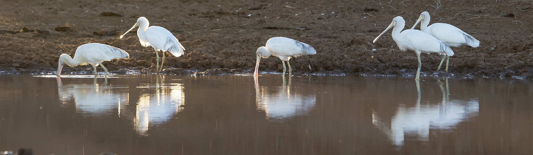 Yellow-billed Spoonbill (Image ID 43230)