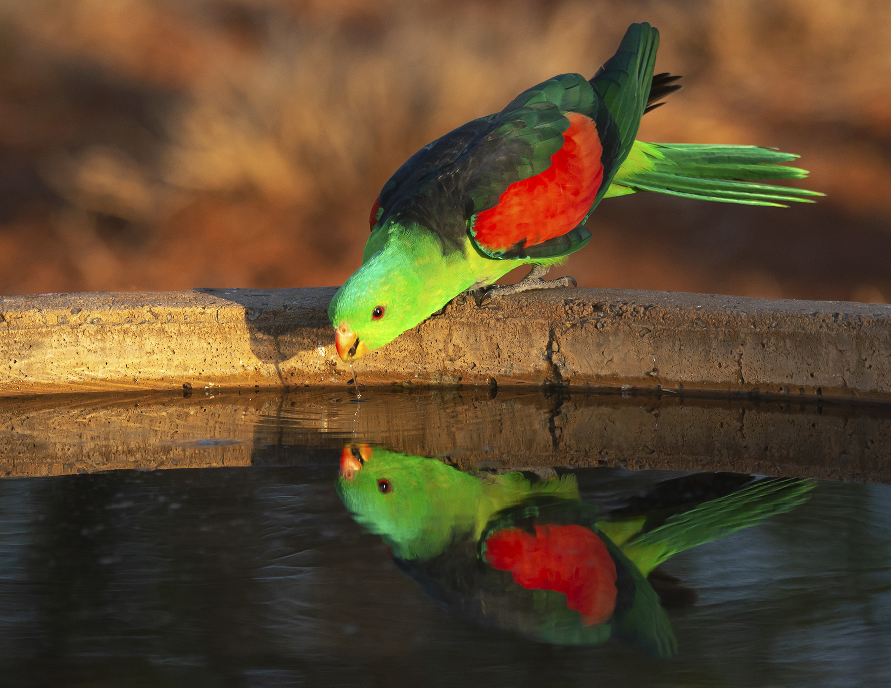 Red-winged Parrot (Image ID 43233)