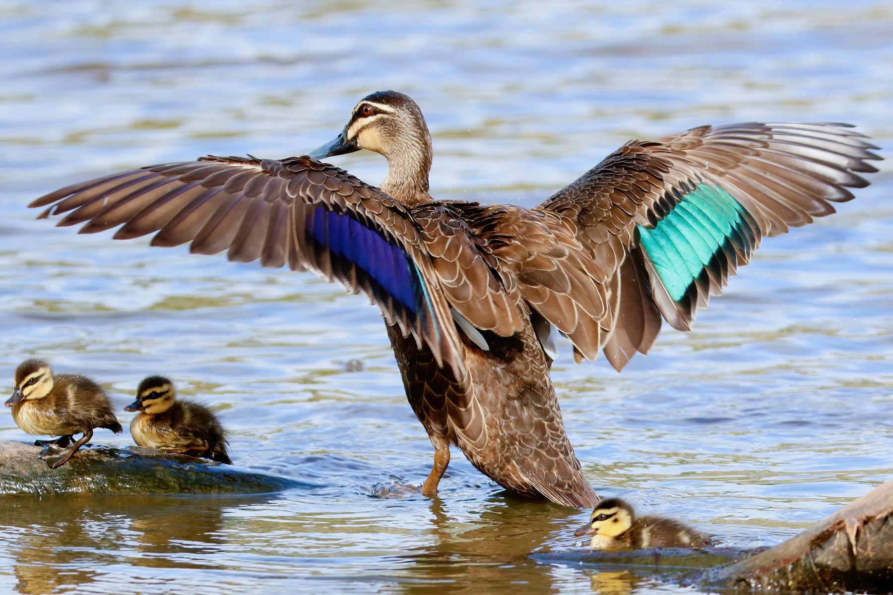 Pacific Black Duck (Image ID 43543)