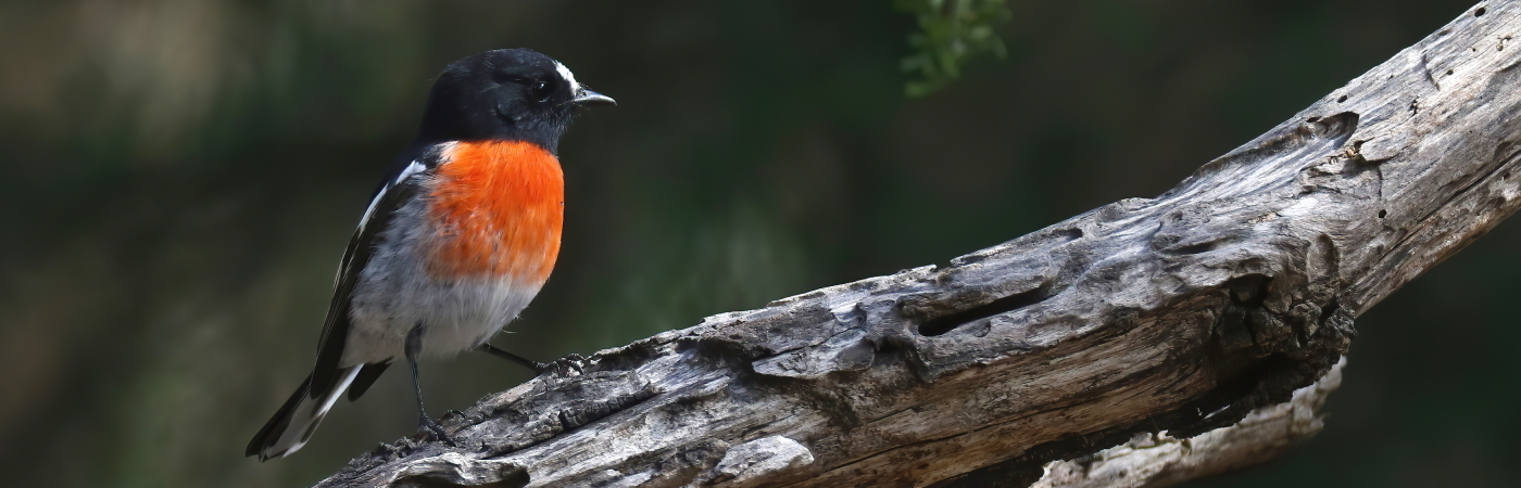 Scarlet Robin (Image ID 43431)