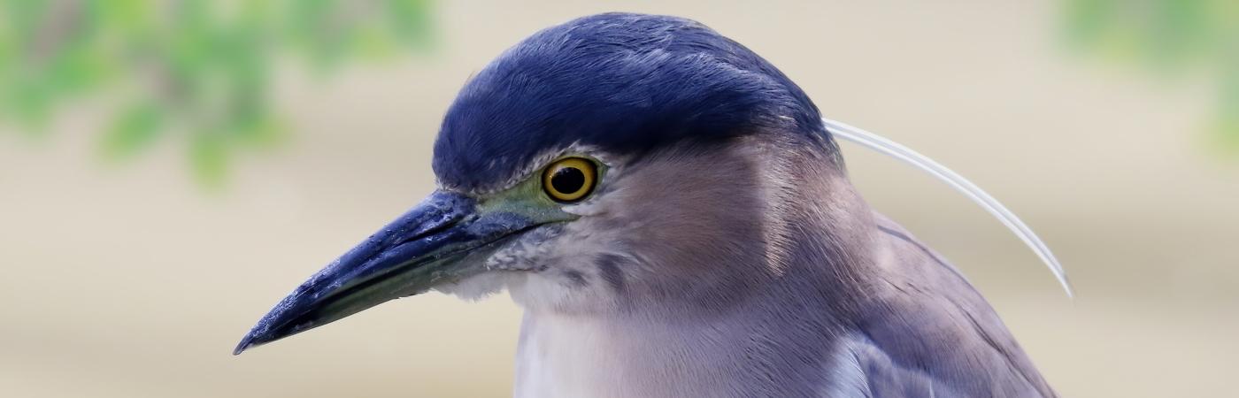 Nankeen Night-Heron (Image ID 43323)