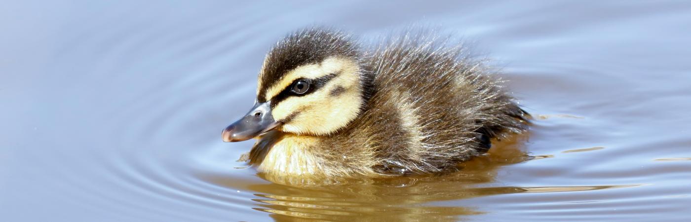 Pacific Black Duck (Image ID 43564)