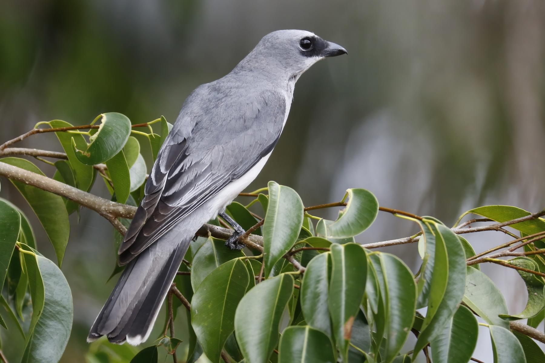 White-bellied Cuckoo-shrike (Image ID 43273)