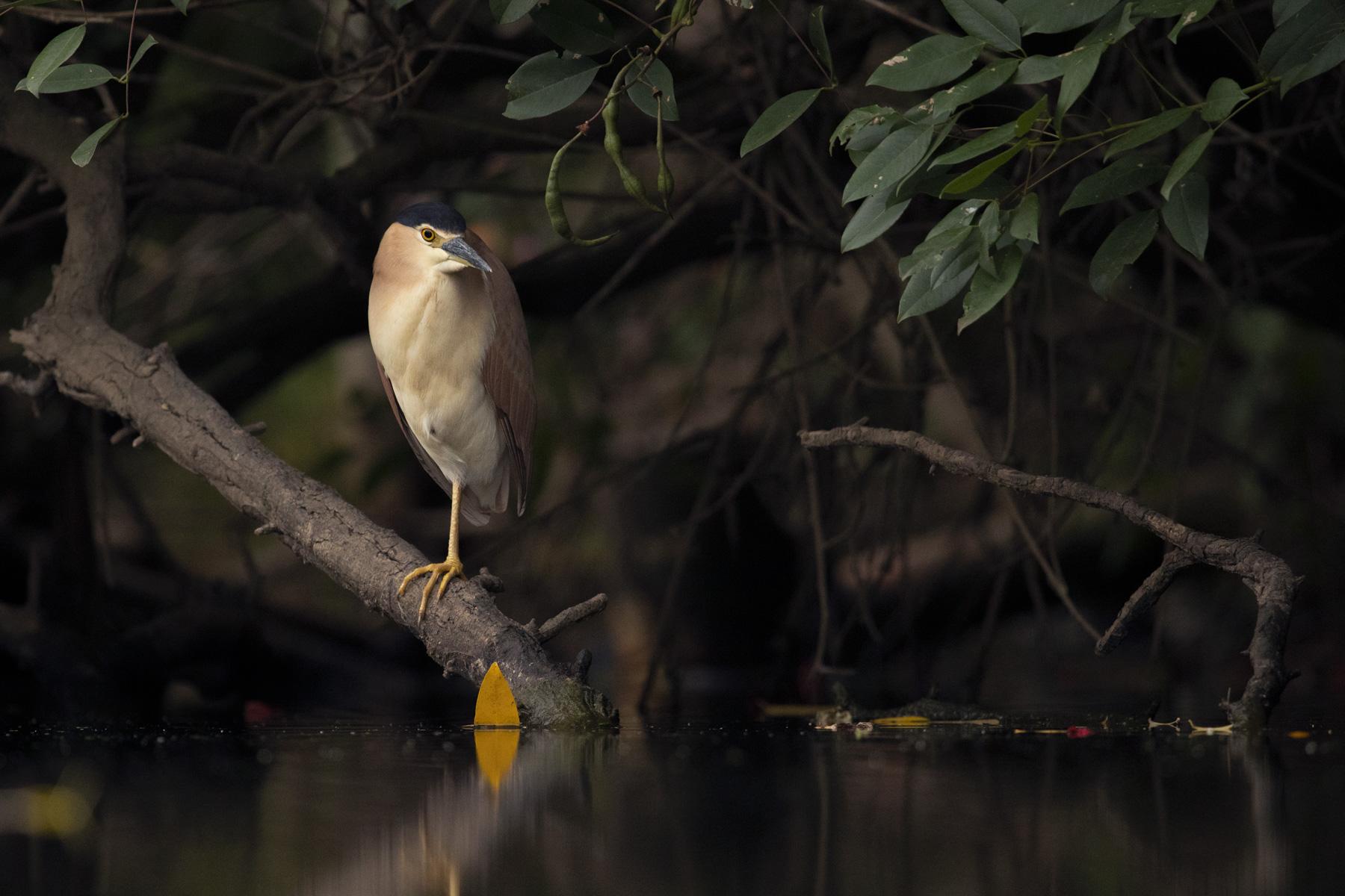 Nankeen Night-Heron (Image ID 43522)