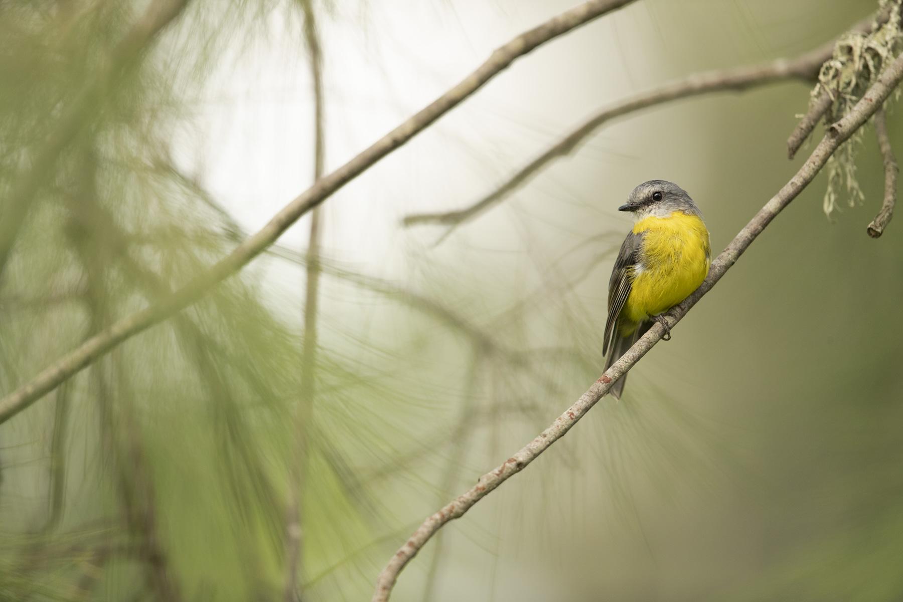 Eastern Yellow Robin (Image ID 43456)