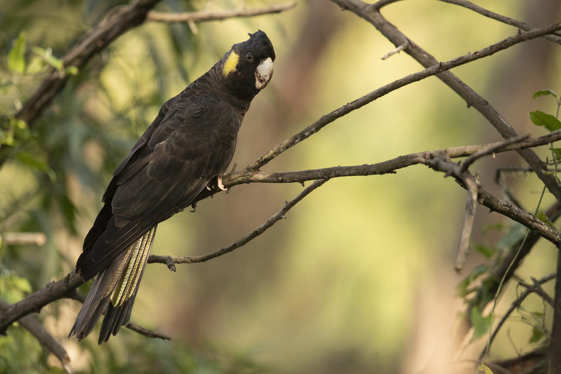 Yellow-tailed Black-Cockatoo (Image ID 43455)
