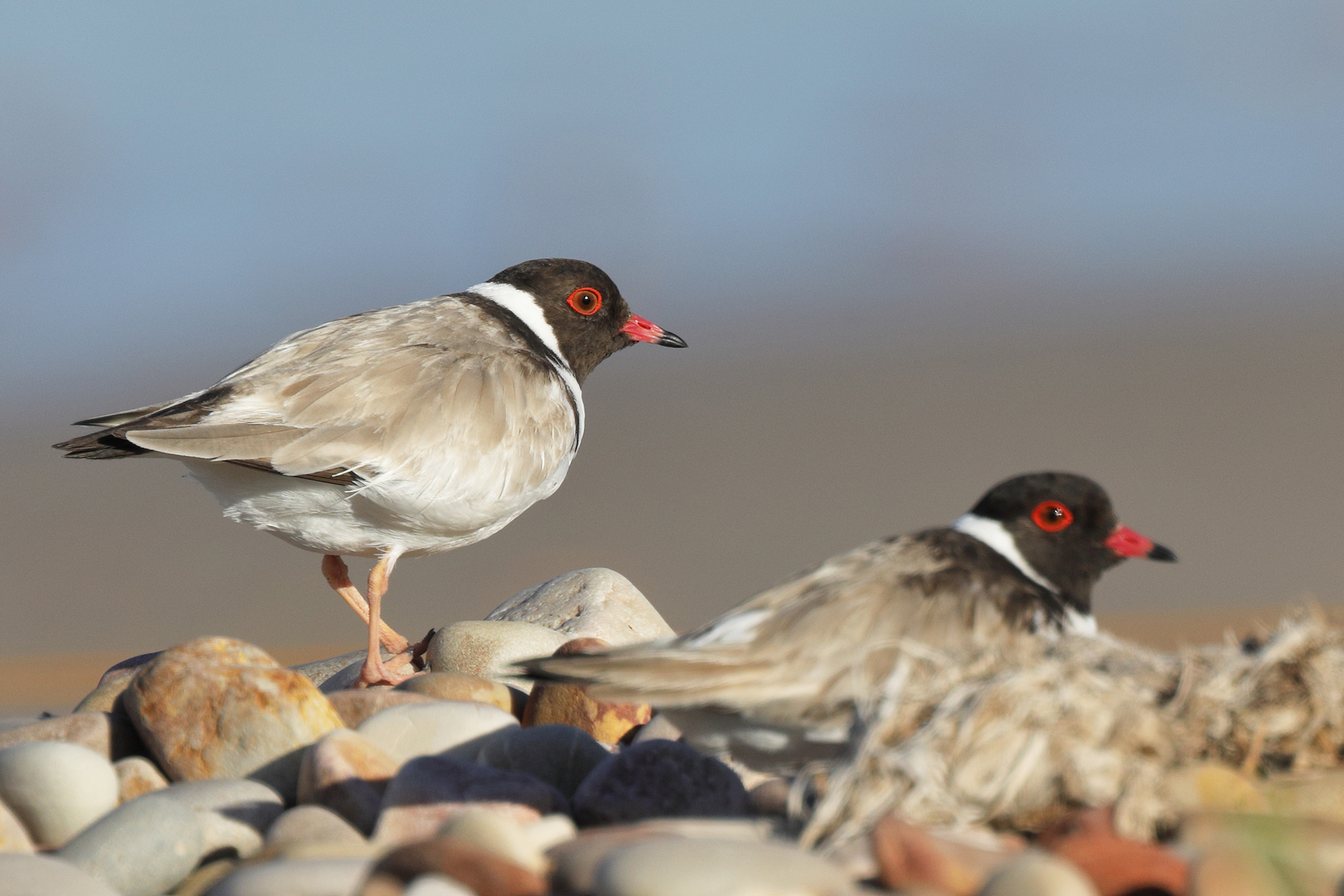 Hooded Plover (Image ID 43829)