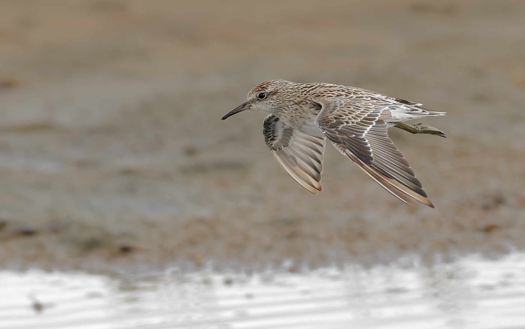 Sharp-tailed Sandpiper (Image ID 44037)