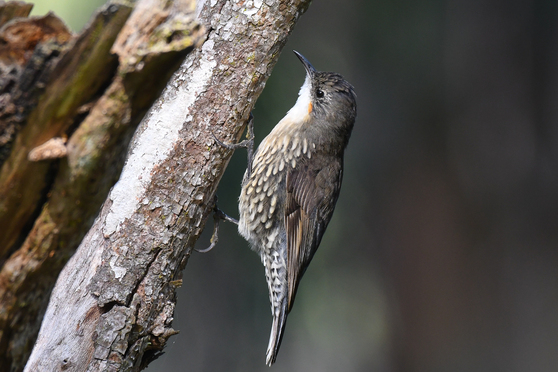 White-throated Treecreeper (Image ID 44023)