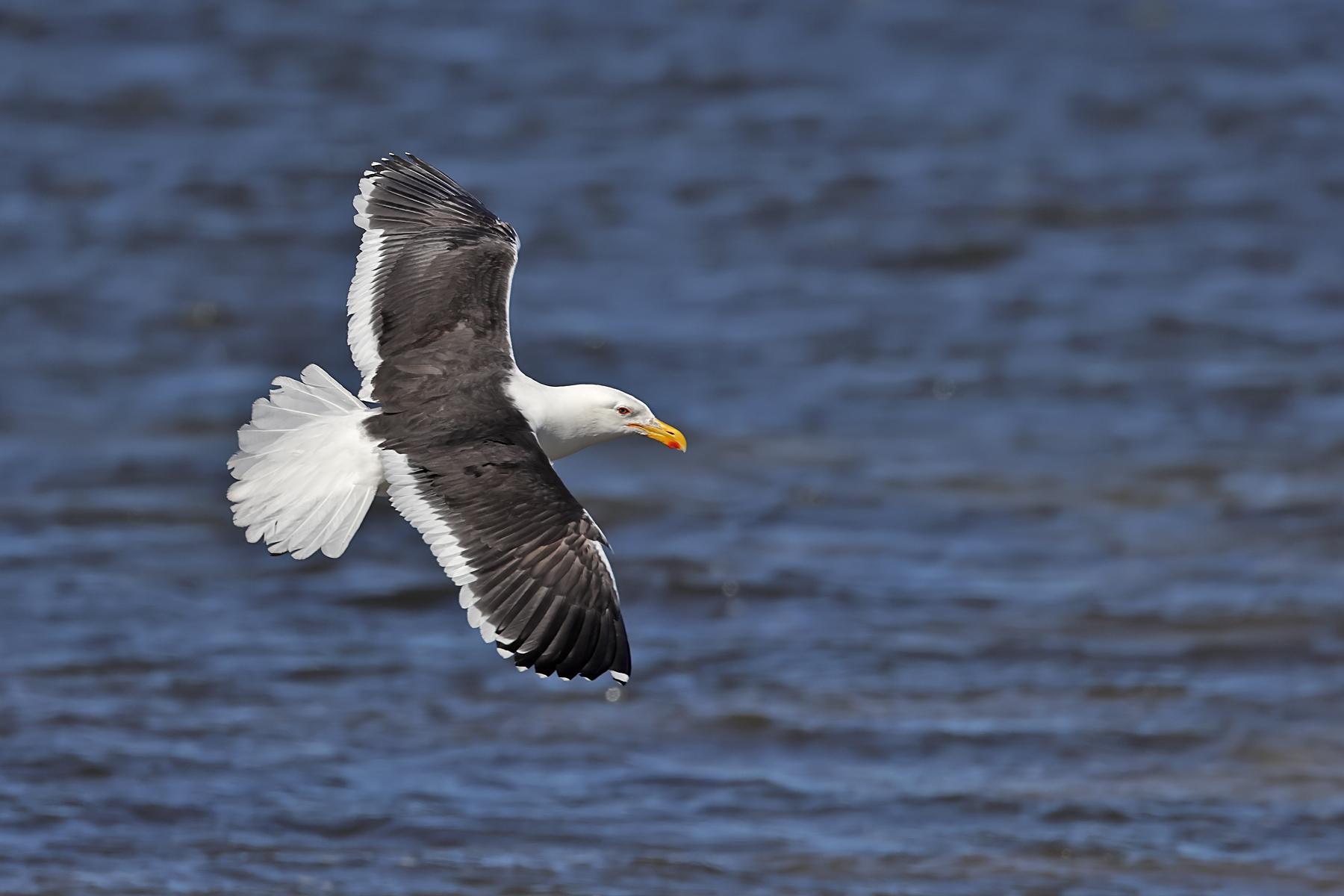 Kelp Gull (Image ID 43924)