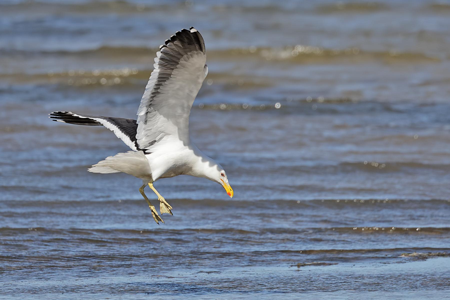 Kelp Gull (Image ID 43923)