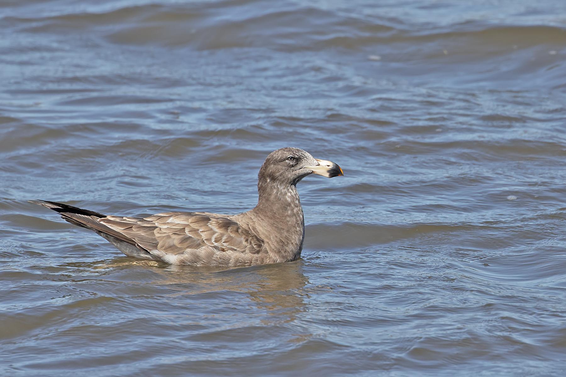 Pacific Gull (Image ID 43988)