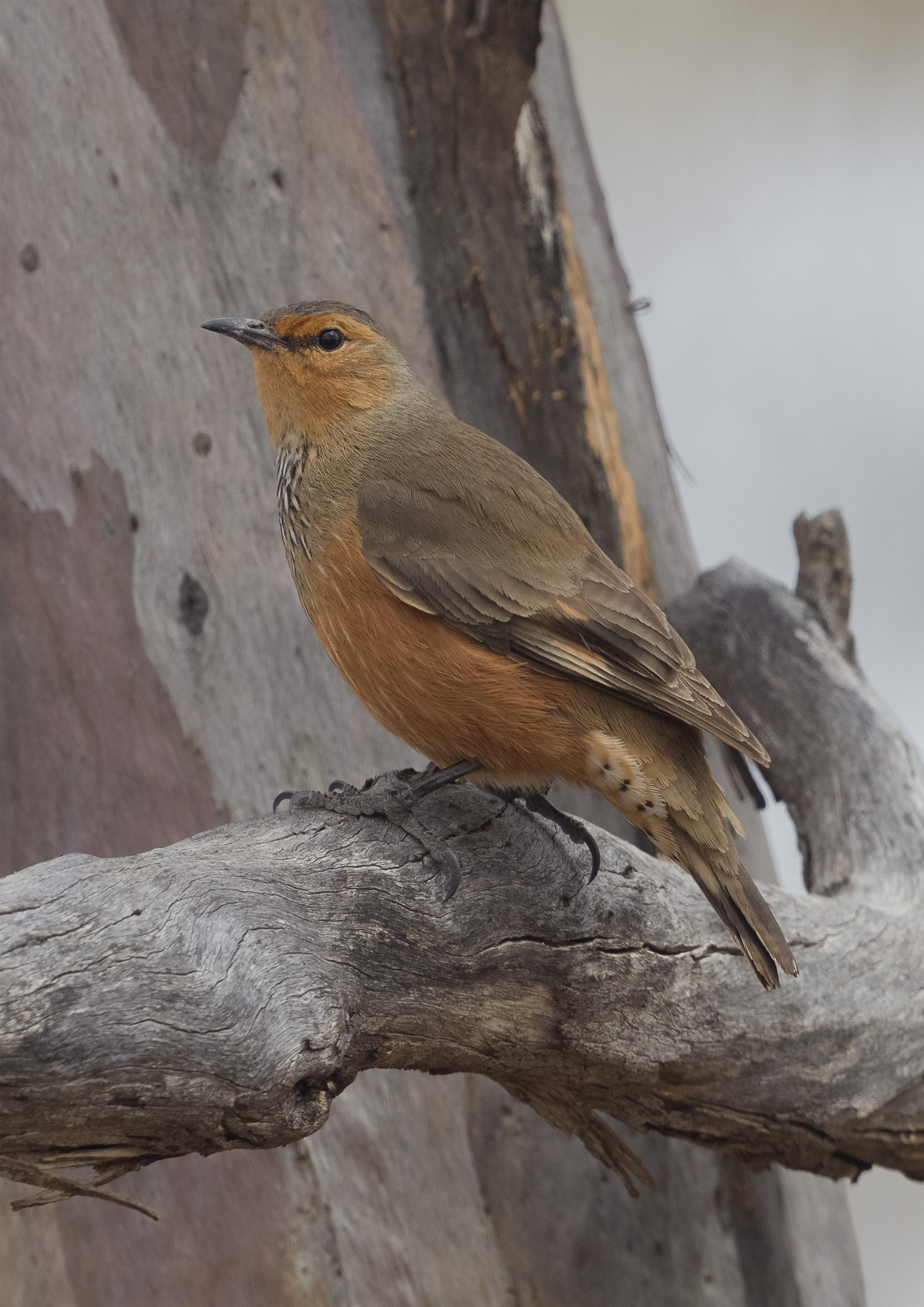 Rufous Treecreeper (Image ID 43855)