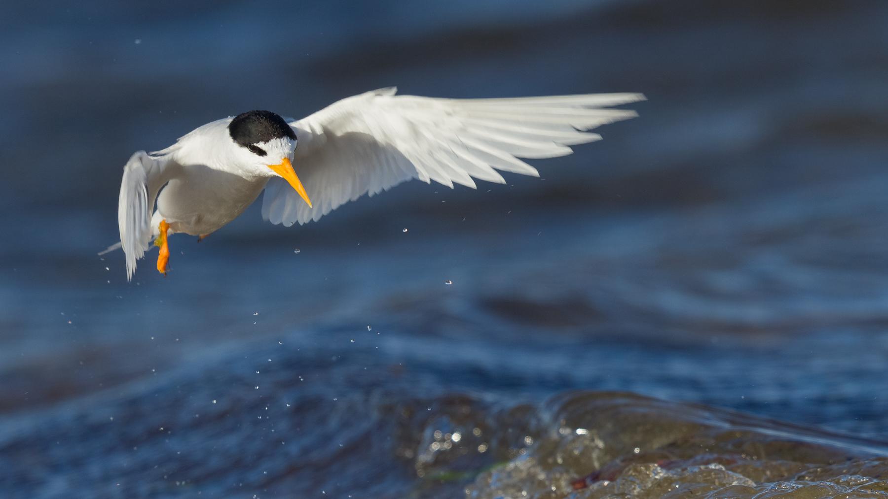 Fairy Tern (Image ID 43951)