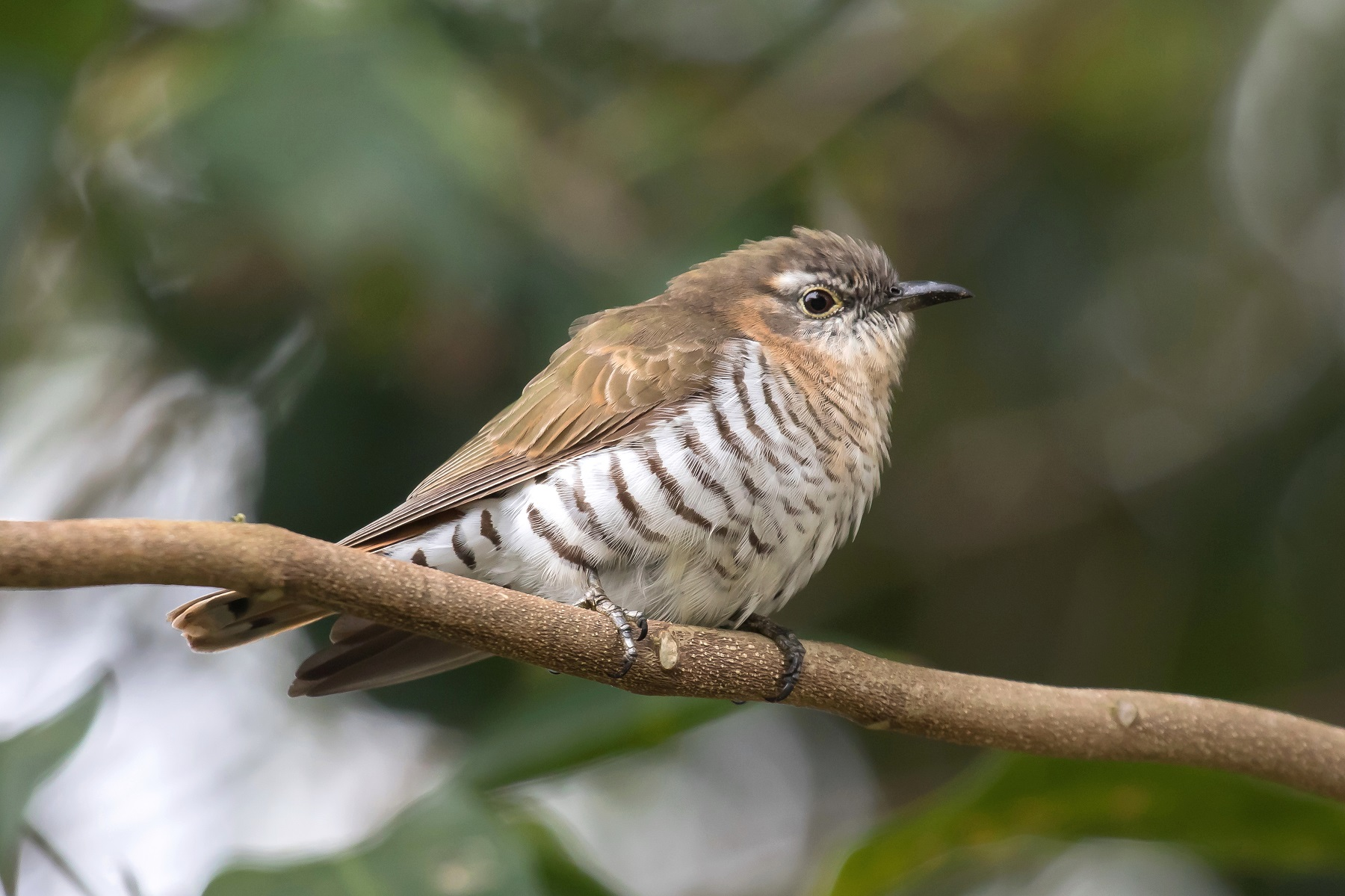 Little Bronze-Cuckoo (Image ID 43742)