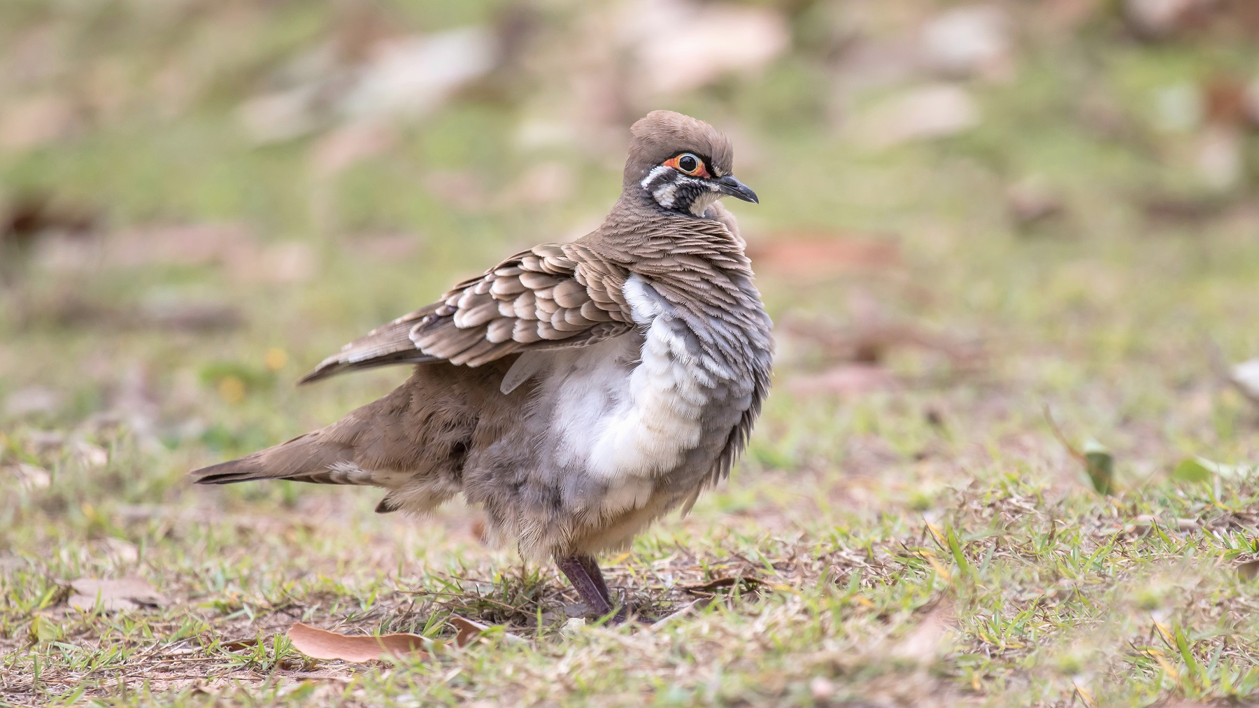 Squatter Pigeon (Image ID 43836)