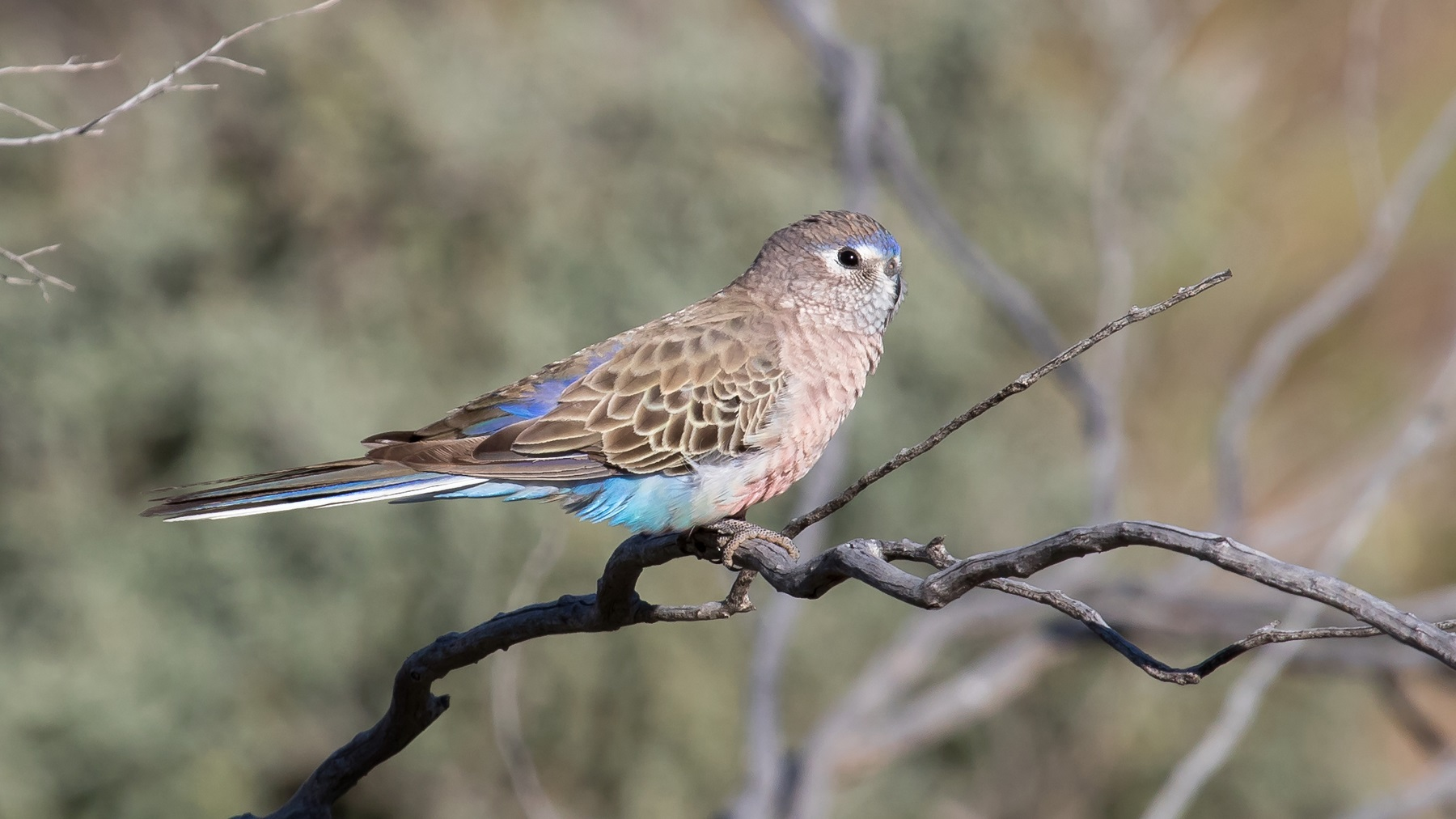 Bourke's Parrot (Image ID 43703)