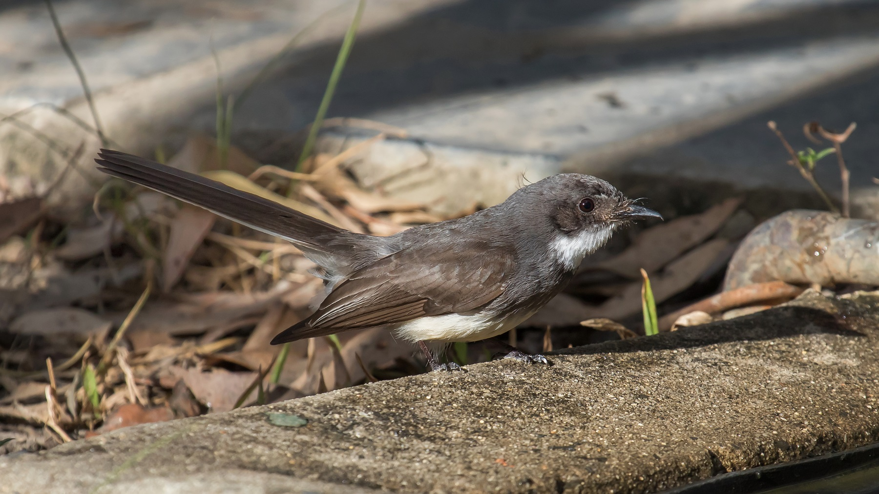 Northern Fantail (Image ID 43792)