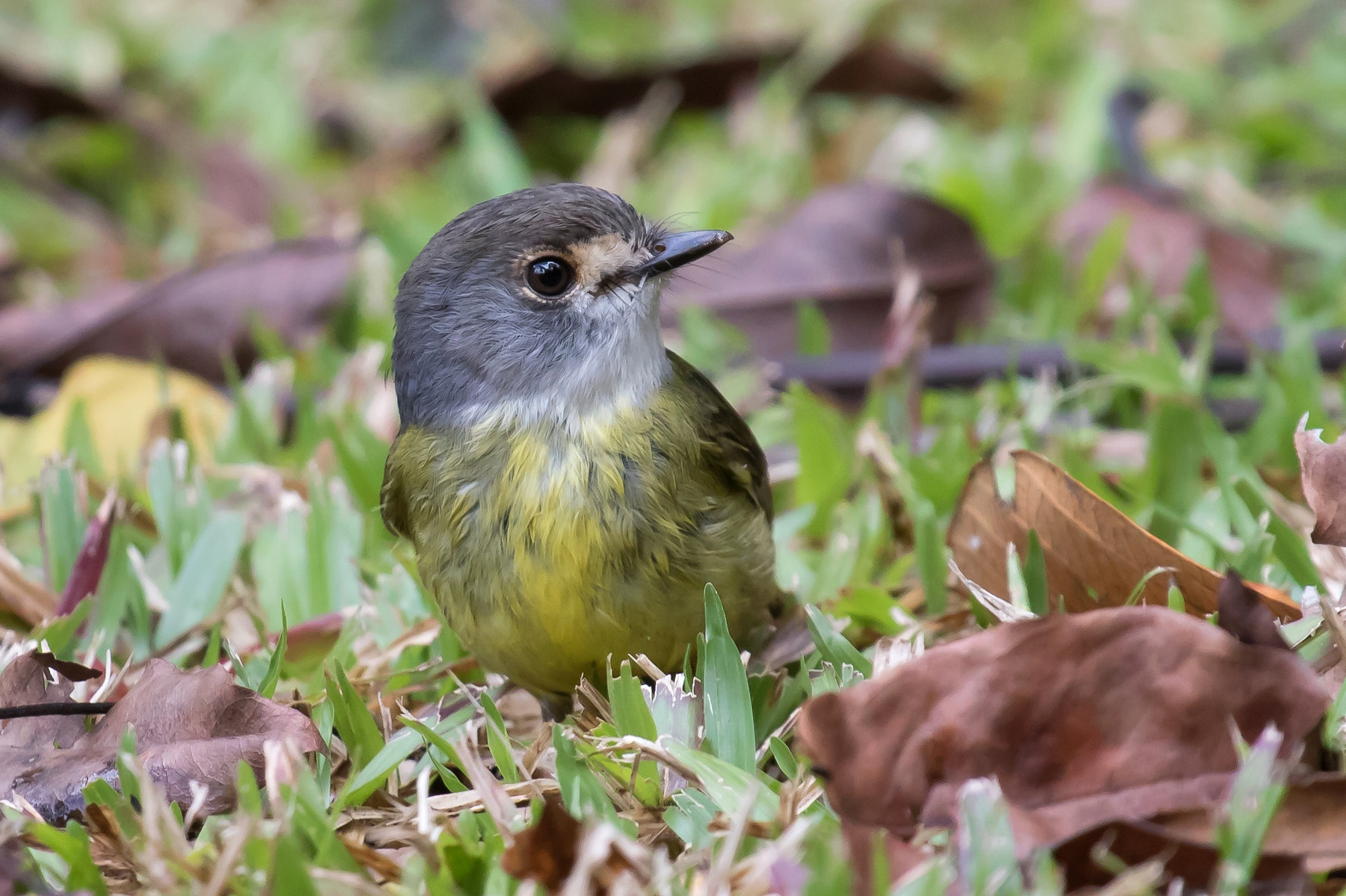 Pale-yellow Robin (Image ID 43793)