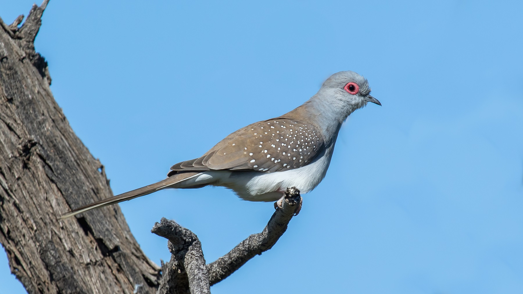 Diamond Dove (Image ID 43705)