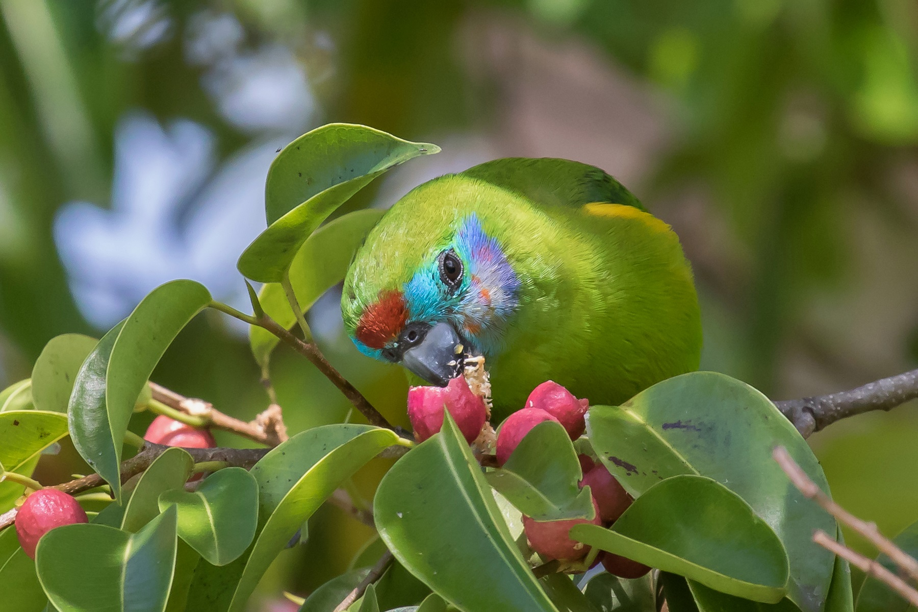 Double-eyed Fig-Parrot (Image ID 43740)