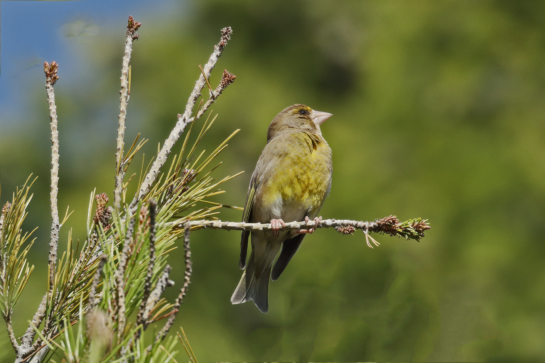 Common Greenfinch (Image ID 44027)