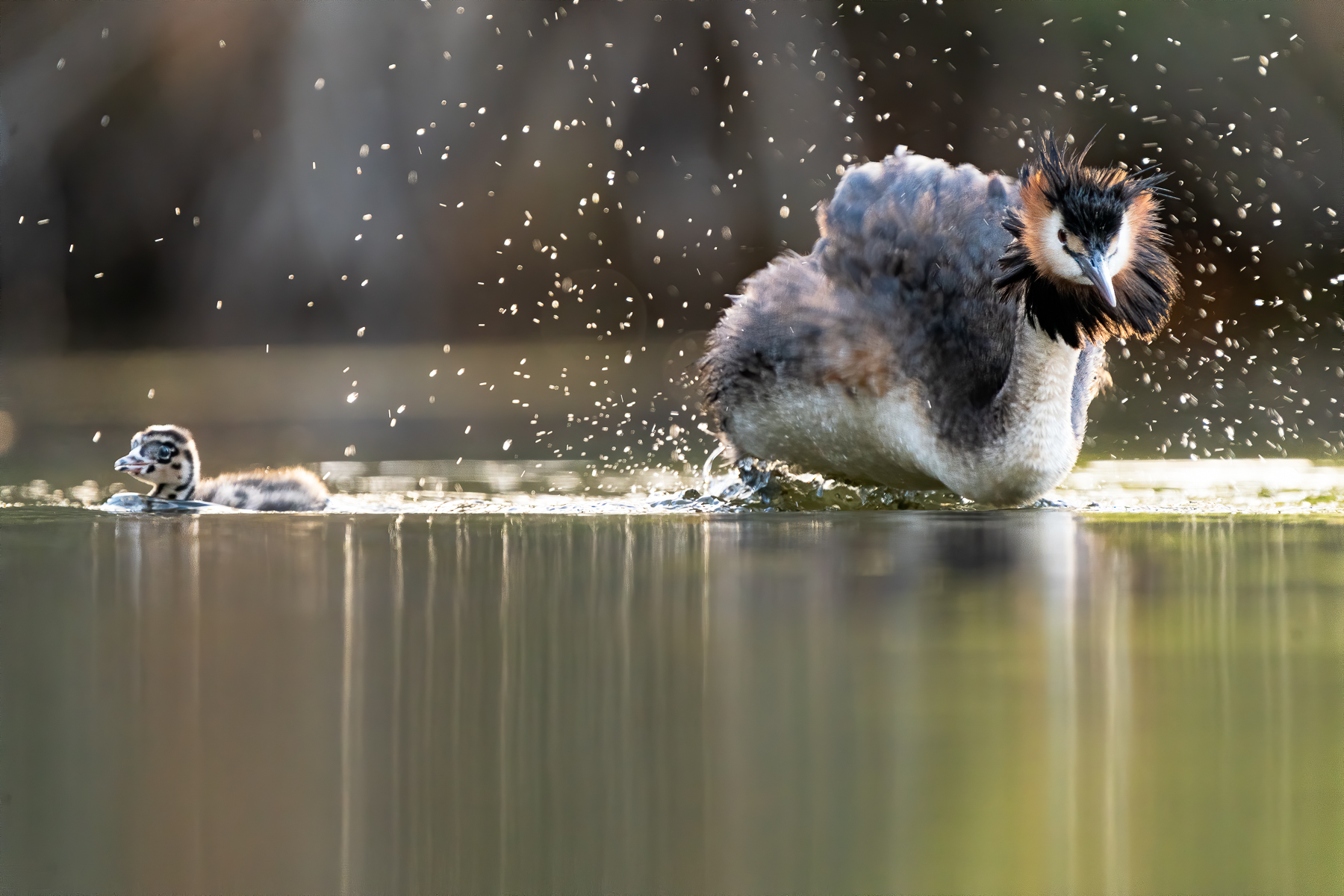 Great Crested Grebe (Image ID 43796)