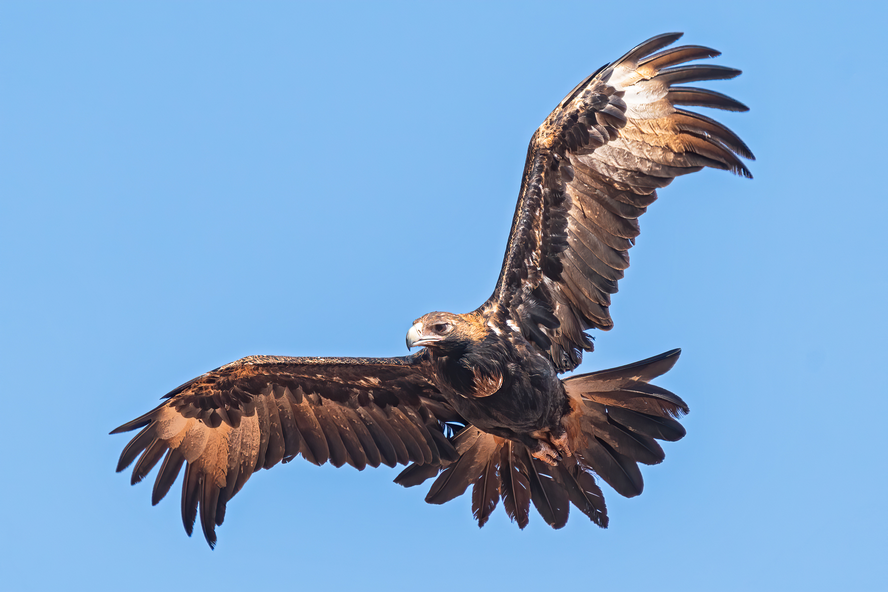Wedge-tailed Eagle (Image ID 43670)