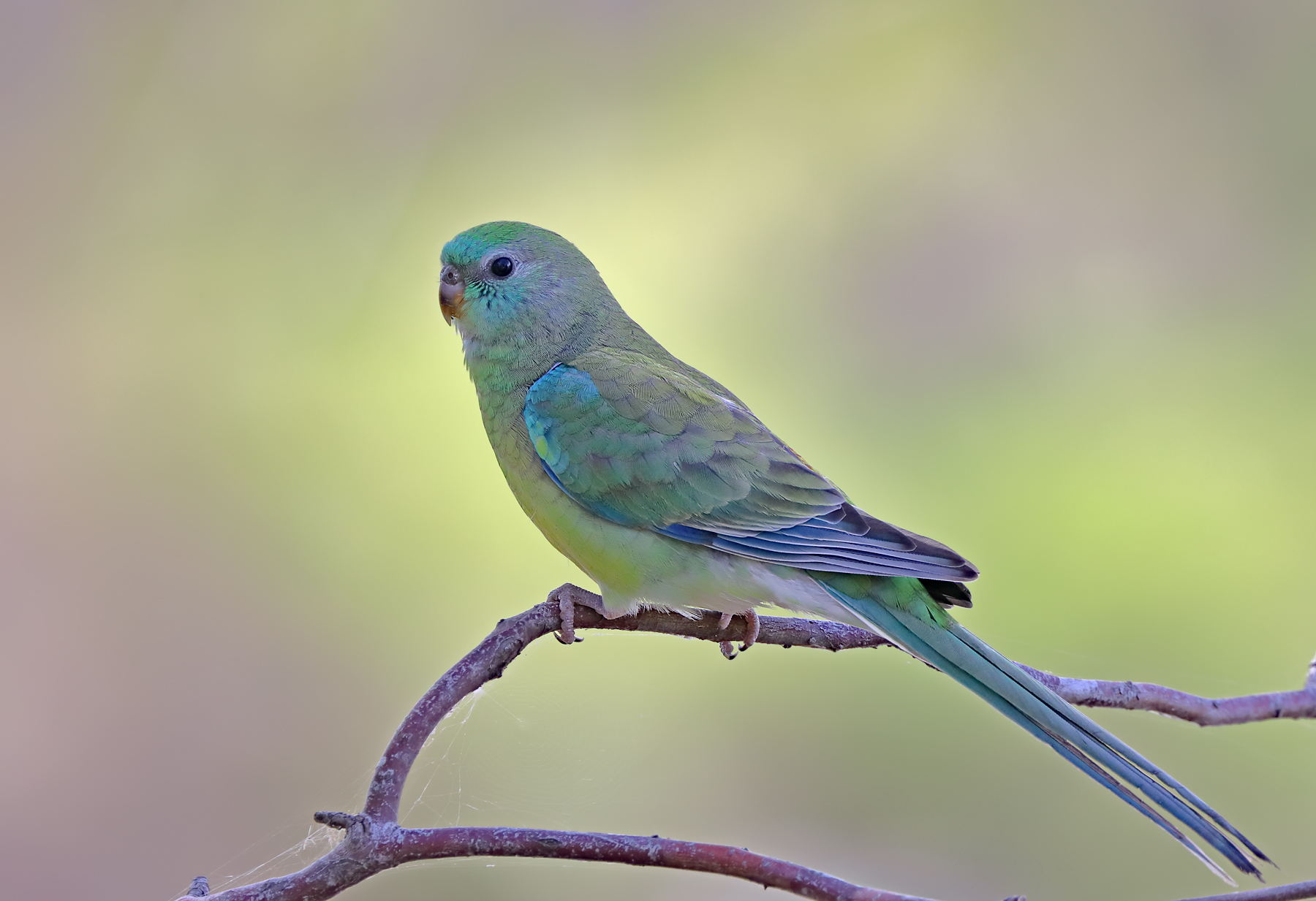 Red-rumped Parrot (Image ID 43684)