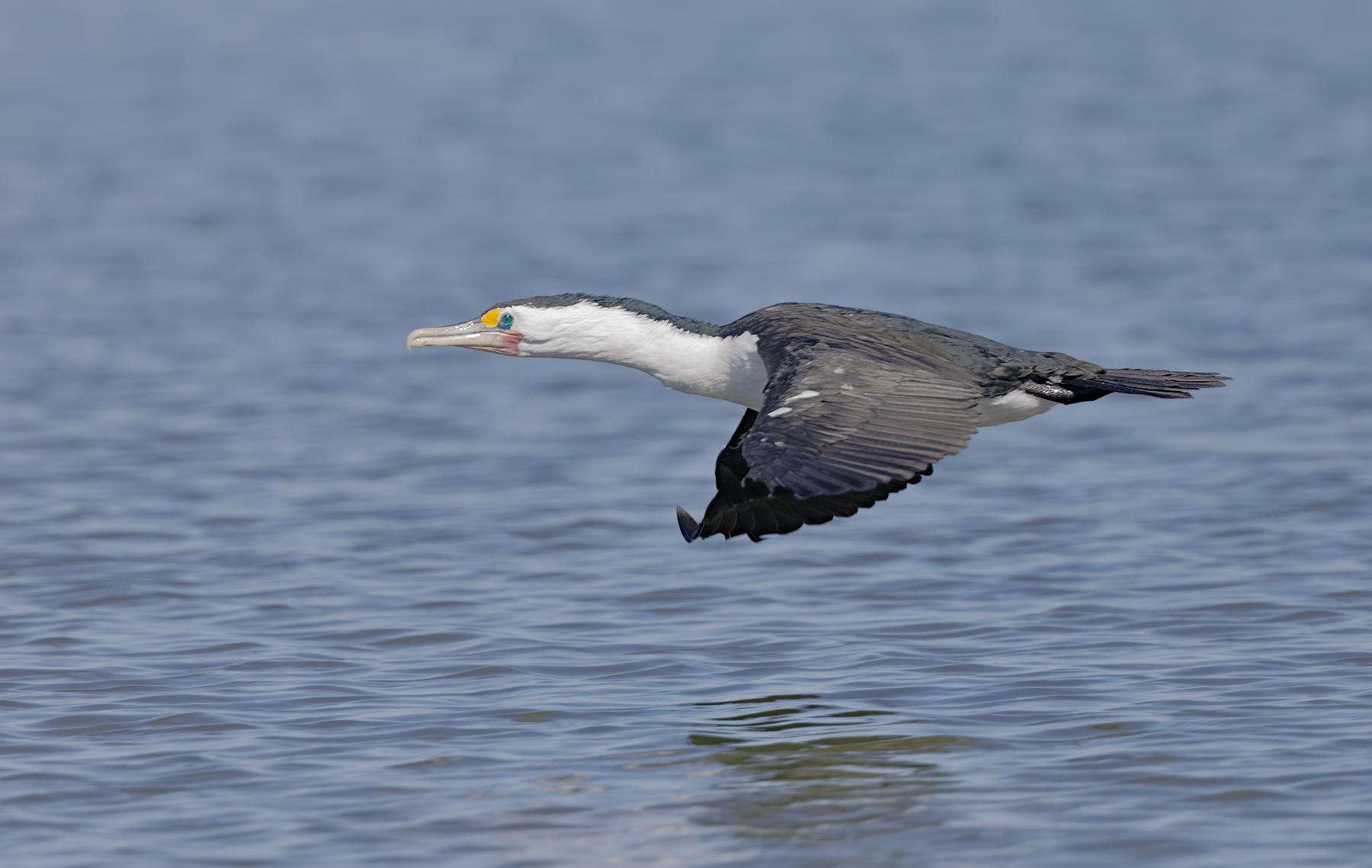 Great Pied Cormorant (Image ID 43815)