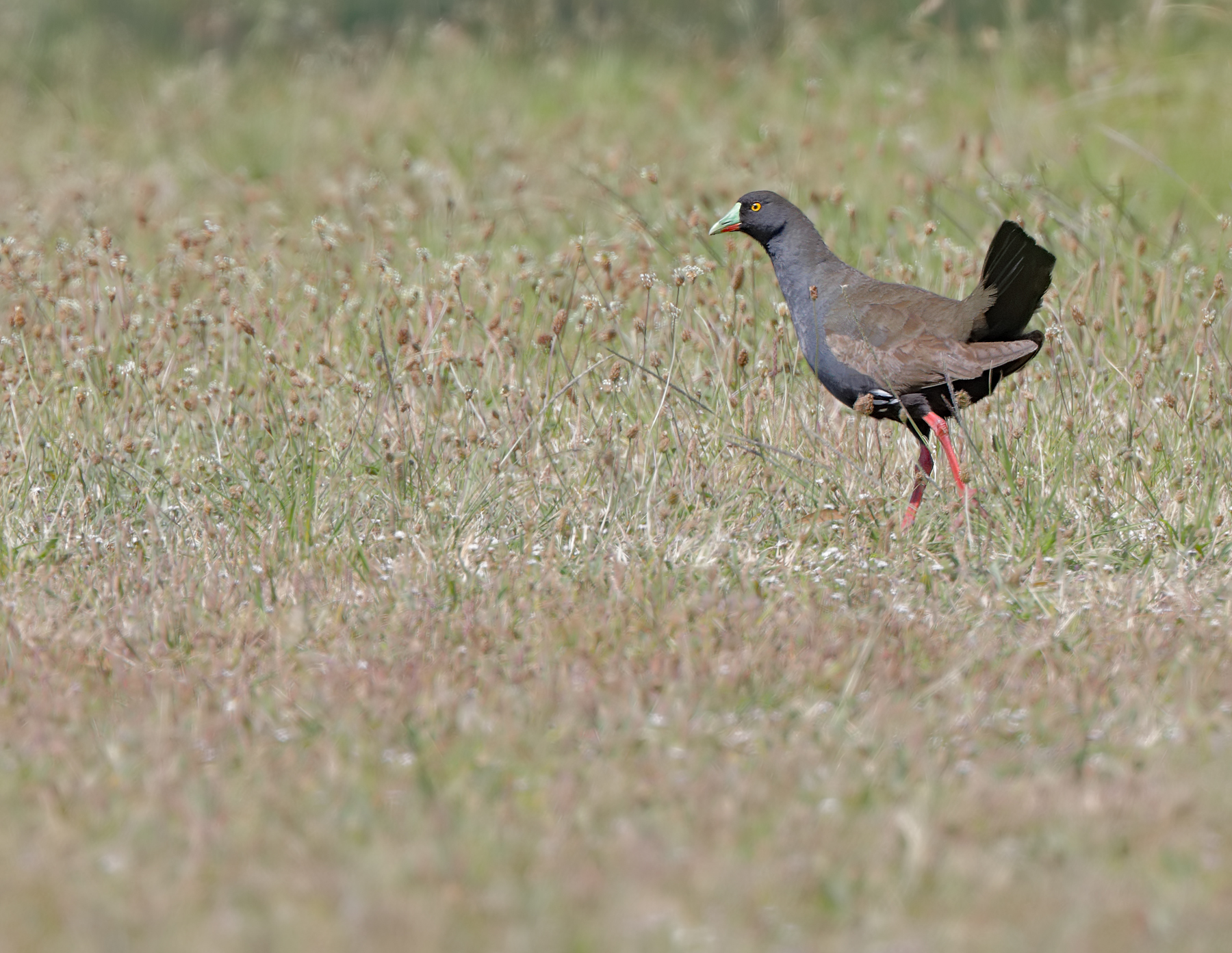 Black-tailed Native-hen (Image ID 43903)