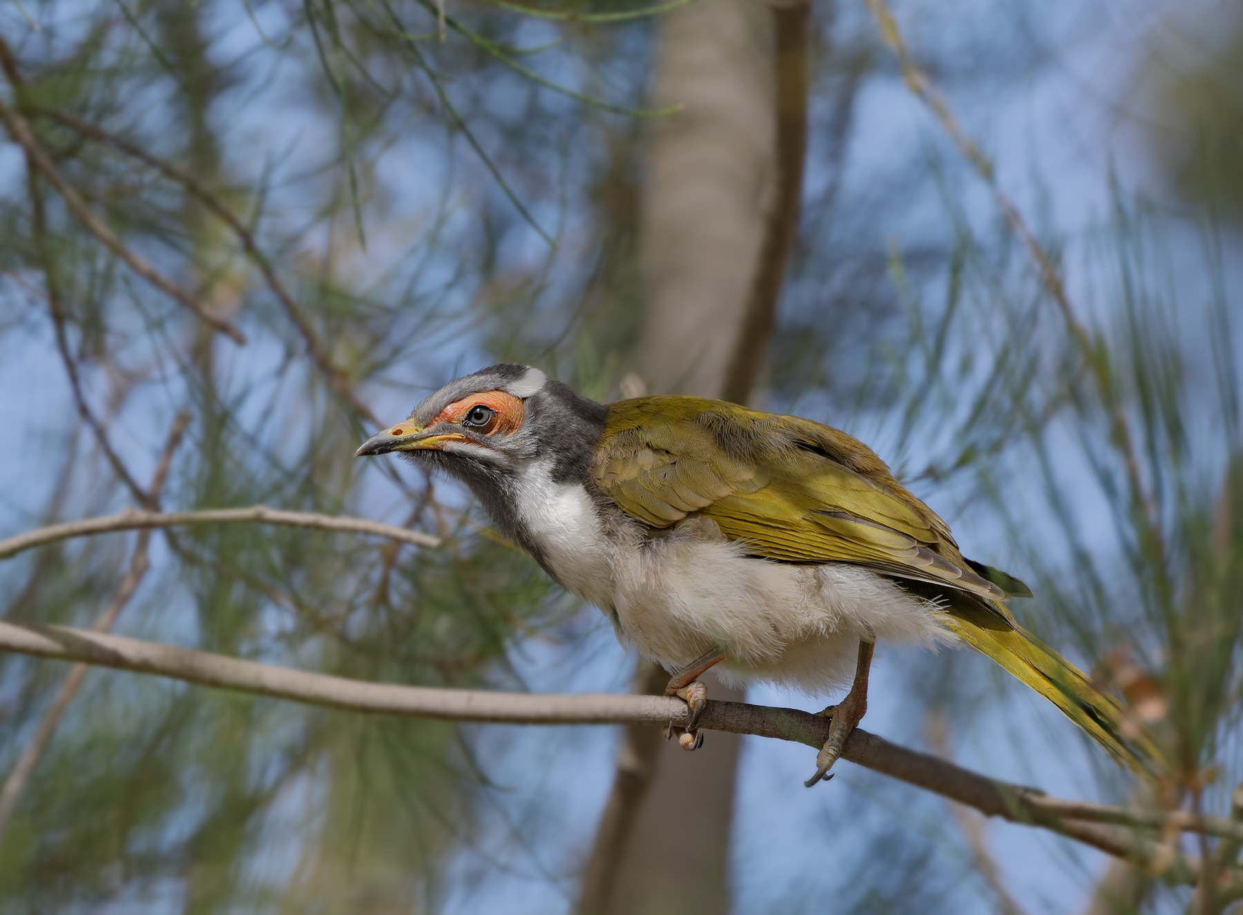 Blue-faced Honeyeater (Image ID 43683)