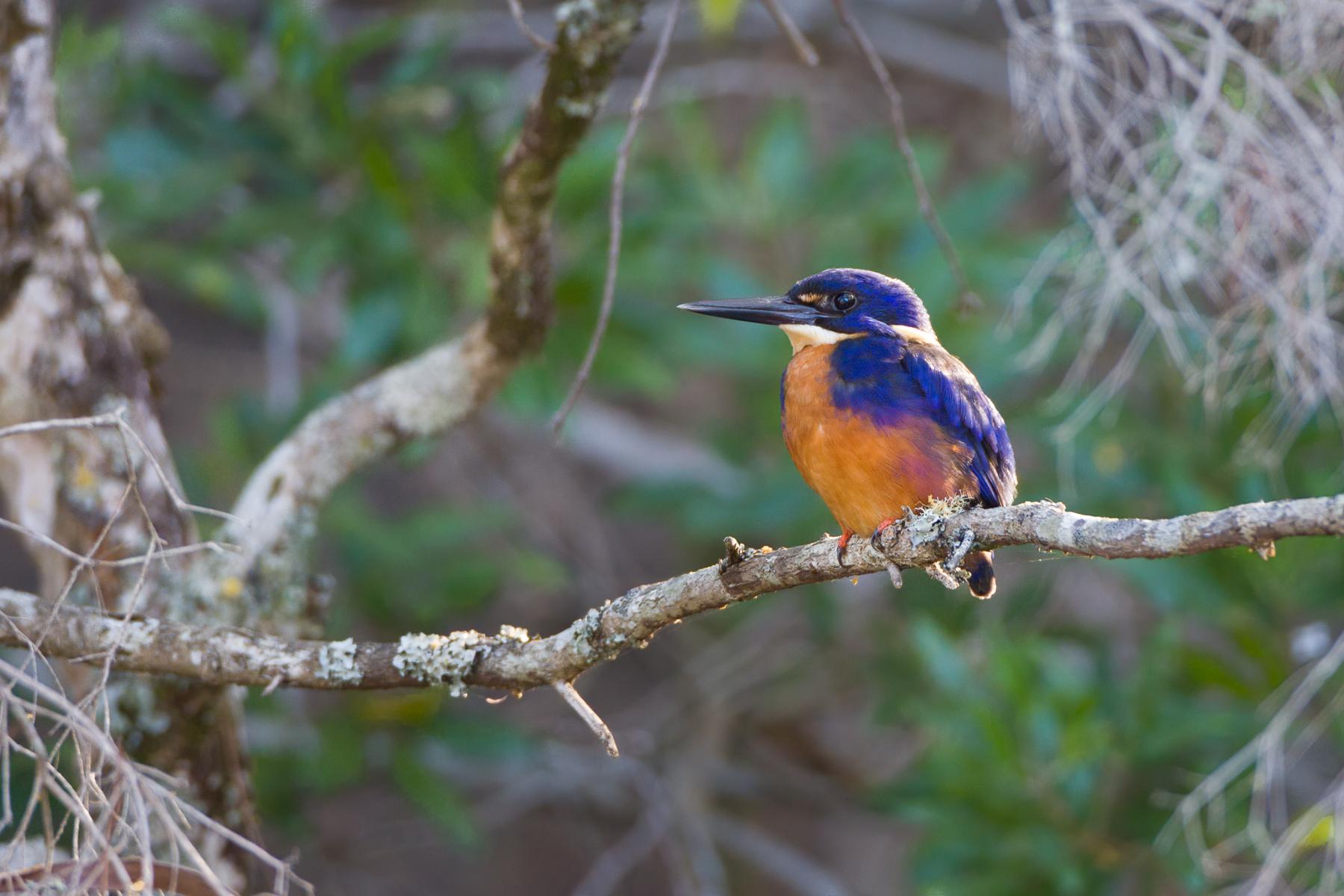Azure Kingfisher (Image ID 43846)