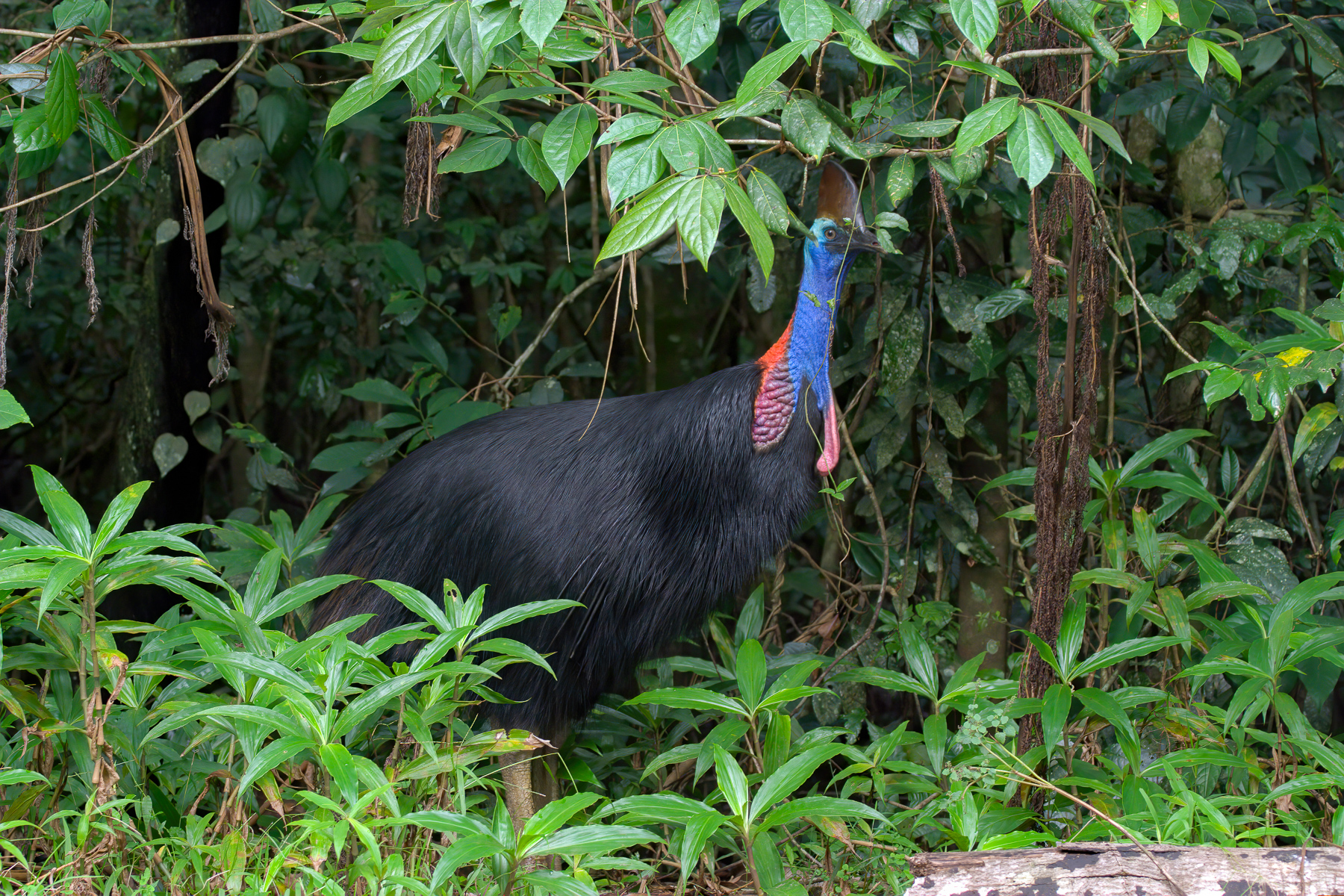 Southern Cassowary (Image ID 43887)