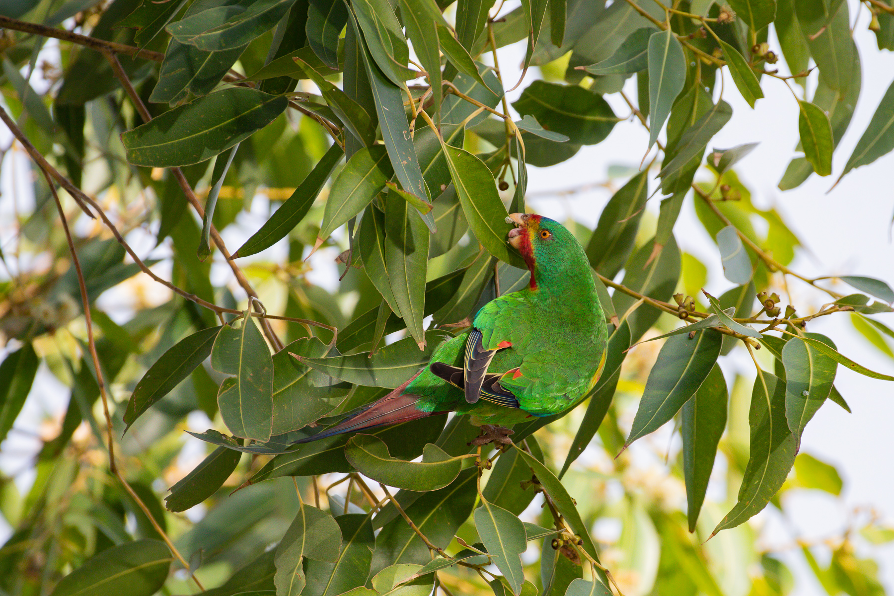 Swift Parrot (Image ID 43723)