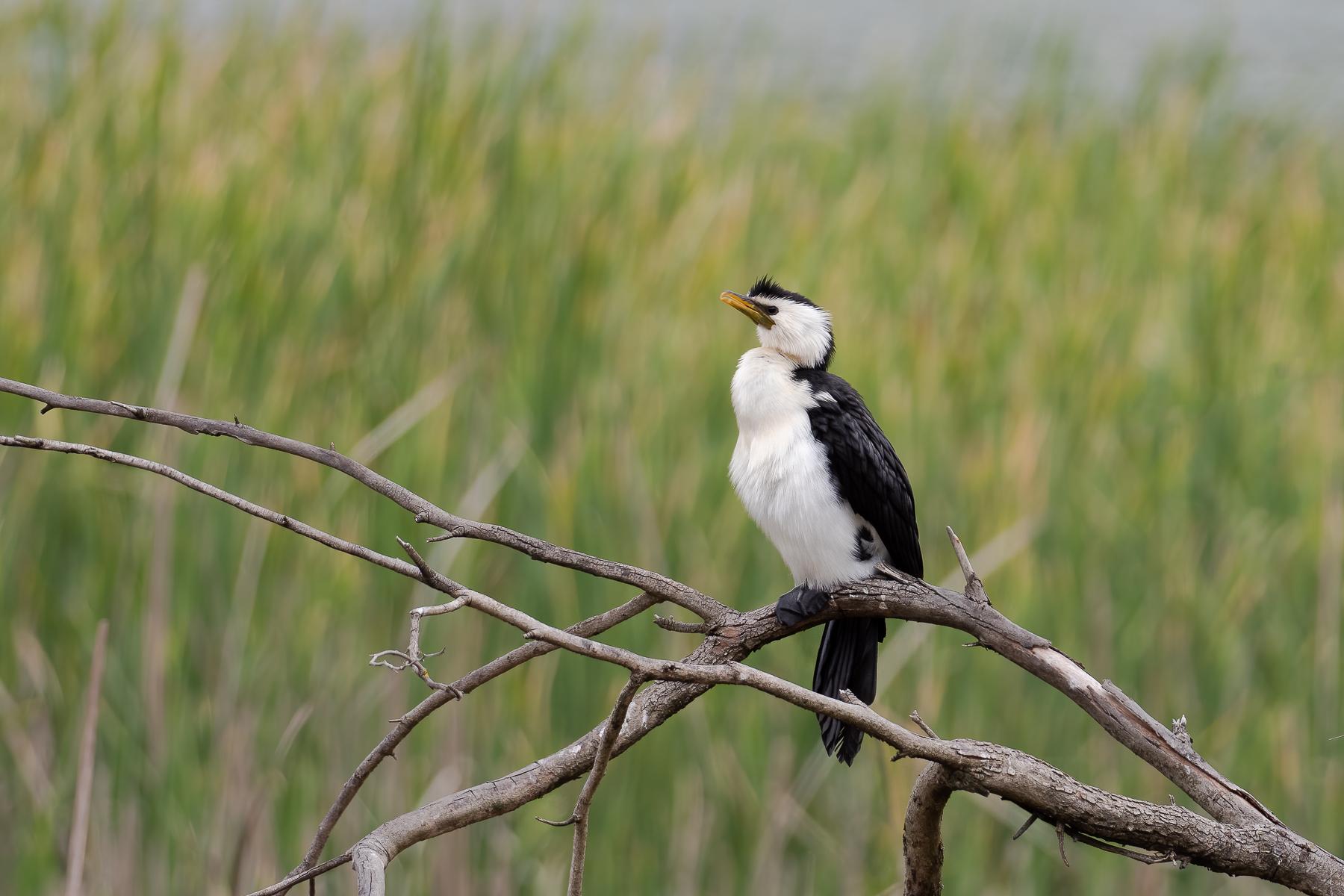 Little Pied Cormorant (Image ID 43889)