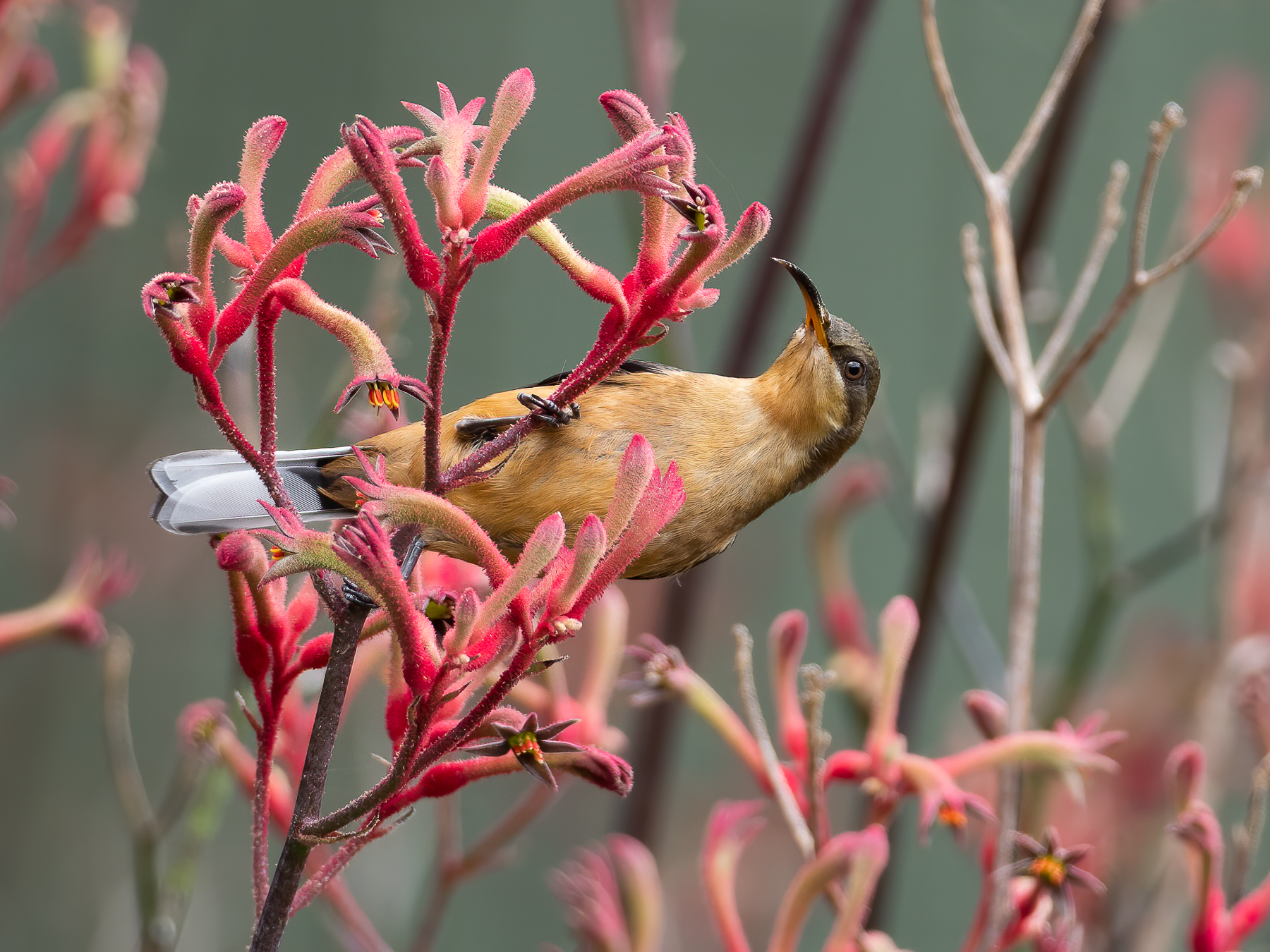 Eastern Spinebill (Image ID 43890)