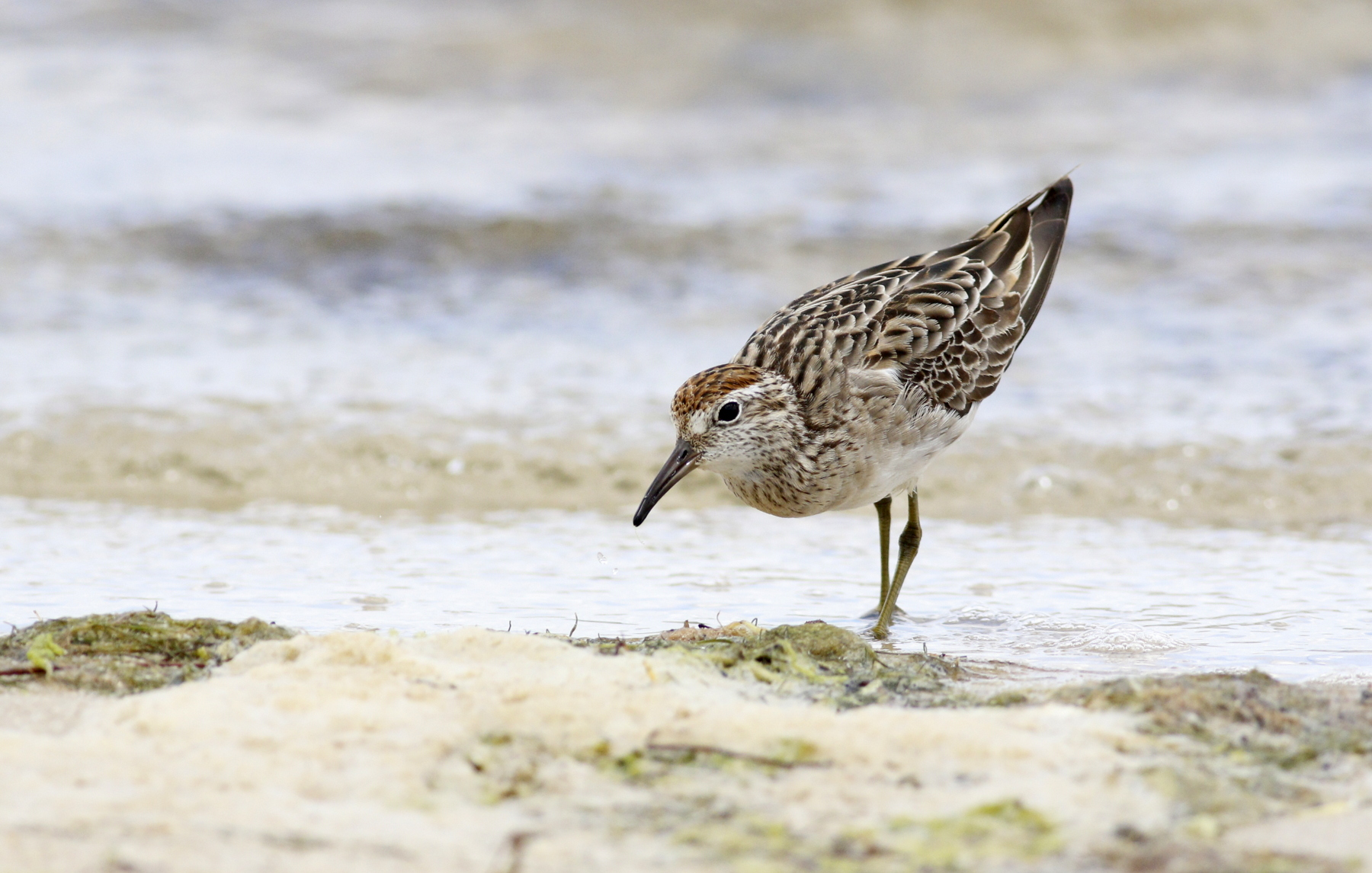 Sharp-tailed Sandpiper (Image ID 43984)