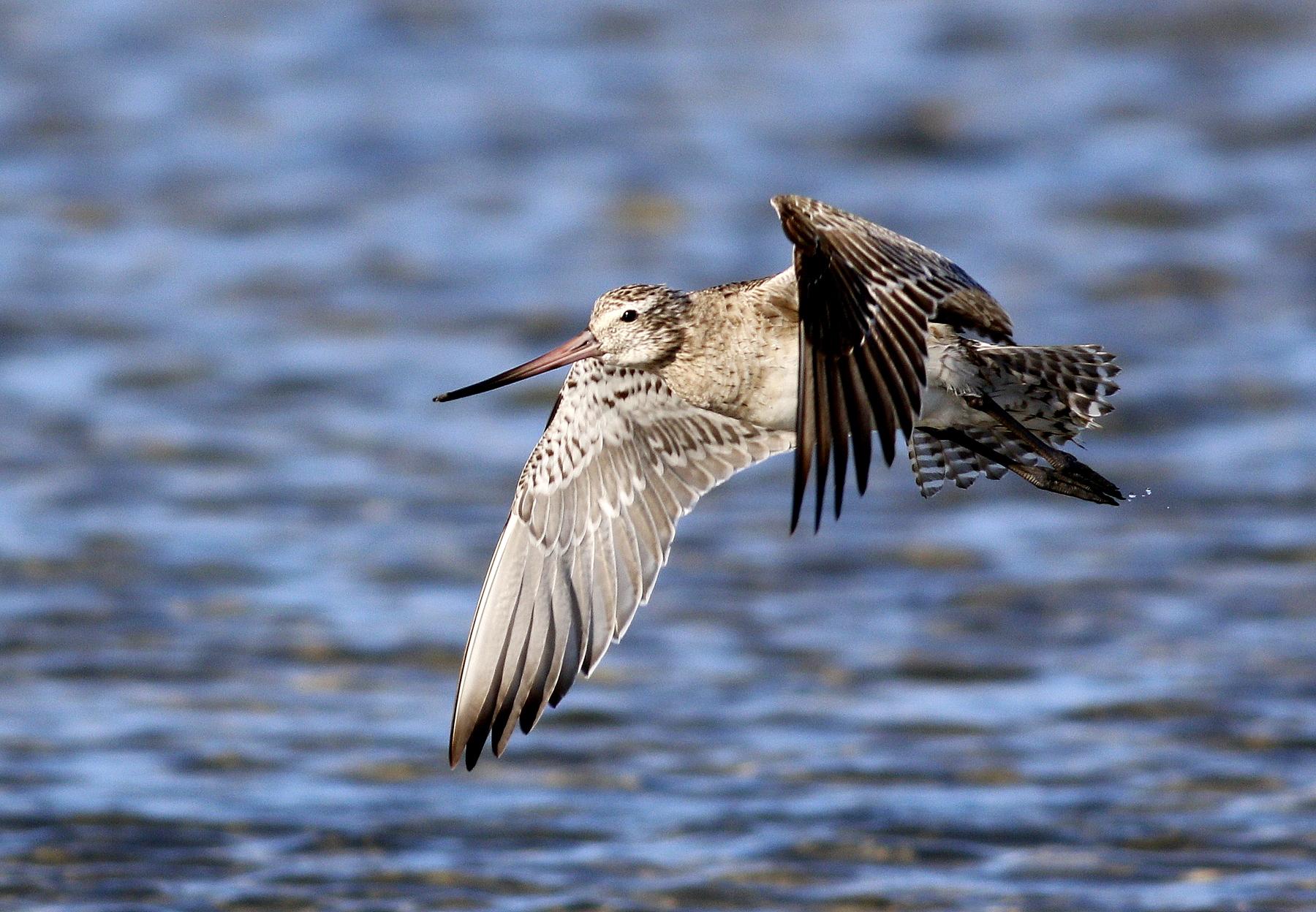 Bar-tailed Godwit (Image ID 43957)