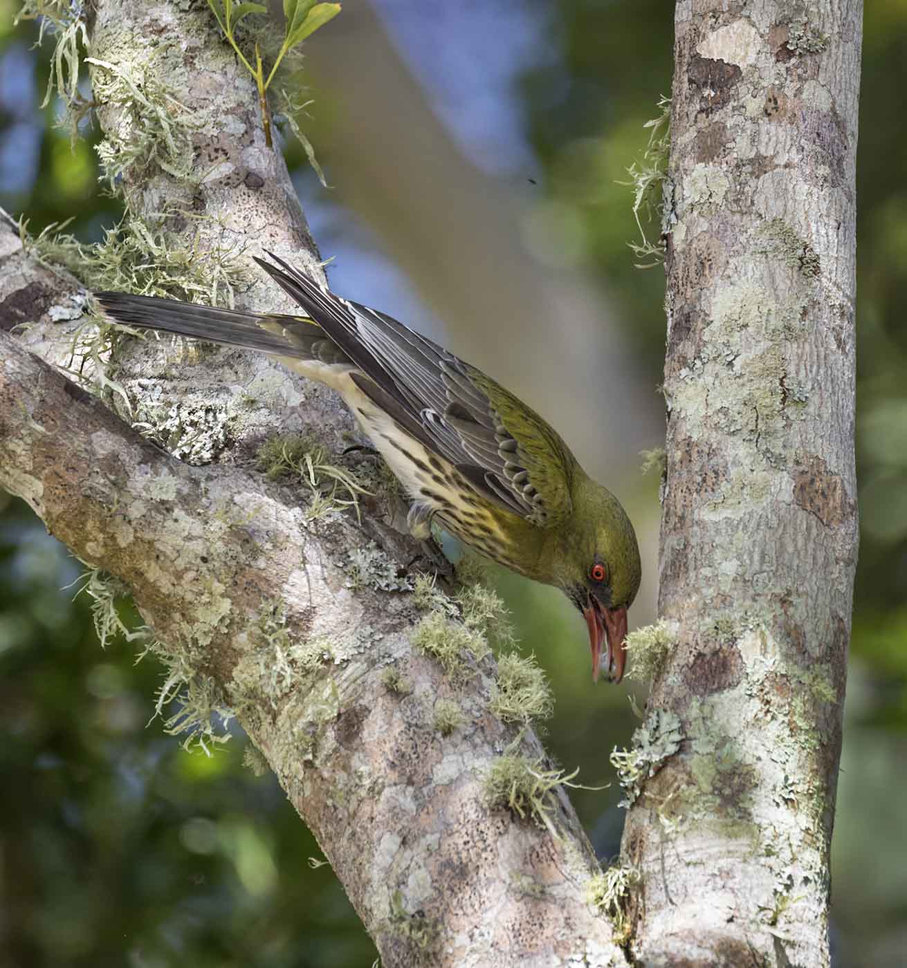 Olive-backed Oriole (Image ID 43861)