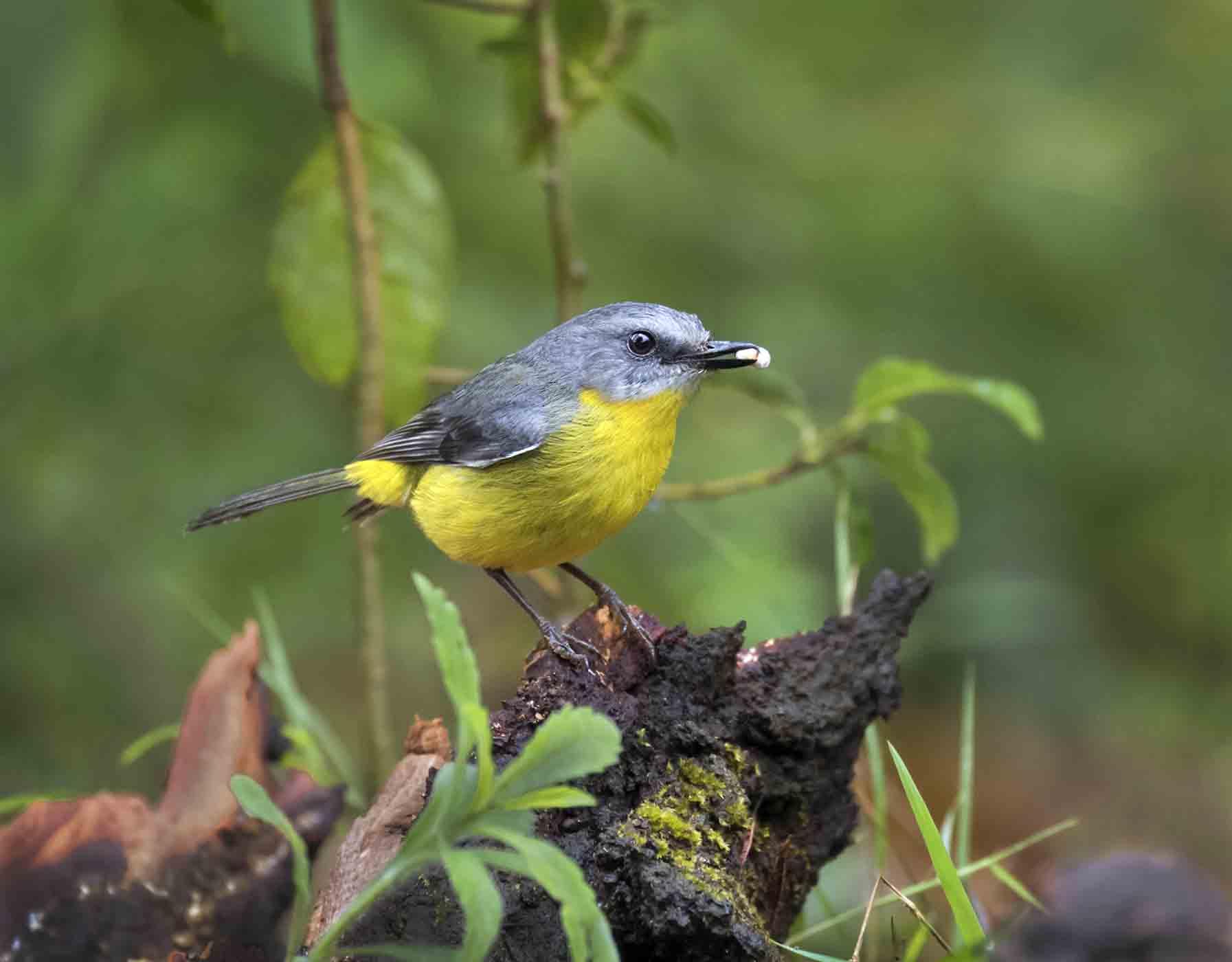 Eastern Yellow Robin (Image ID 43862)