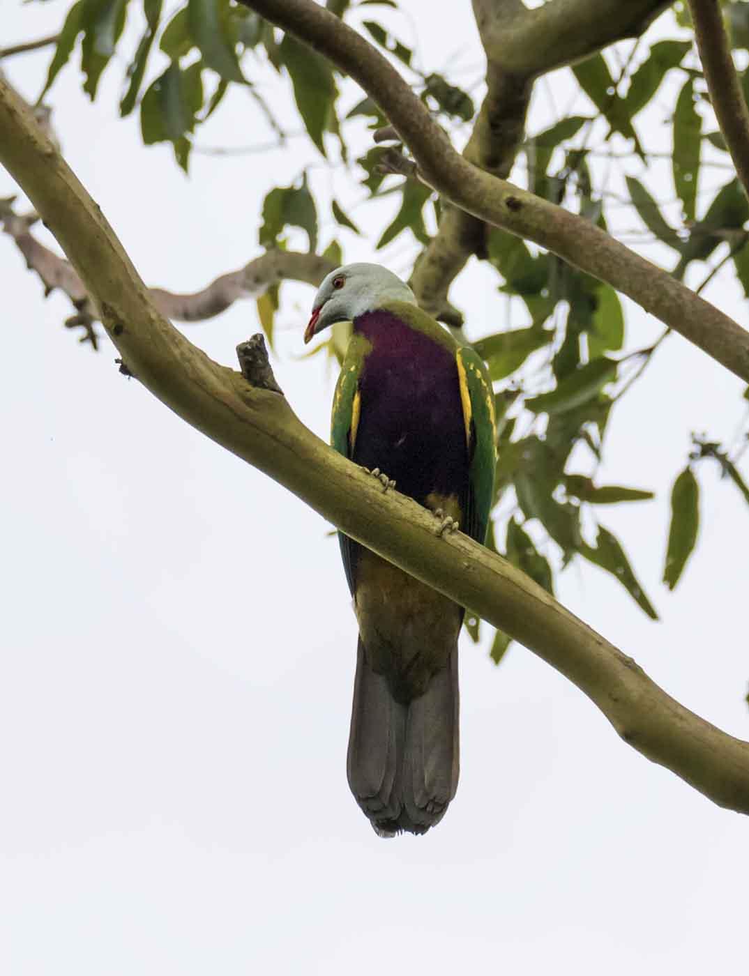 Wompoo Fruit-Dove (Image ID 43874)