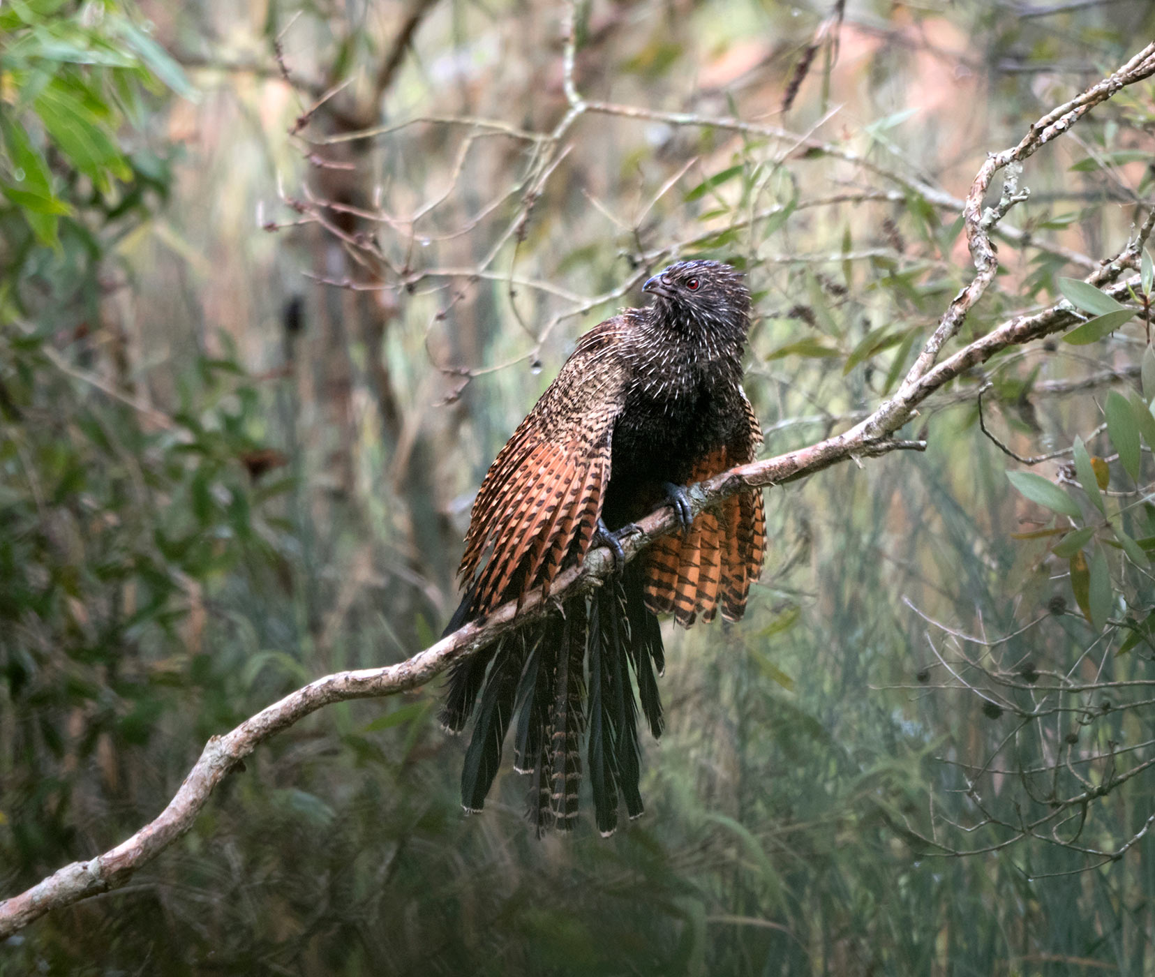 Pheasant Coucal (Image ID 43955)