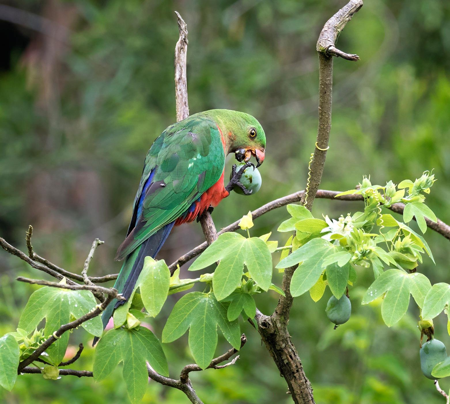 Australian King-Parrot (Image ID 43928)