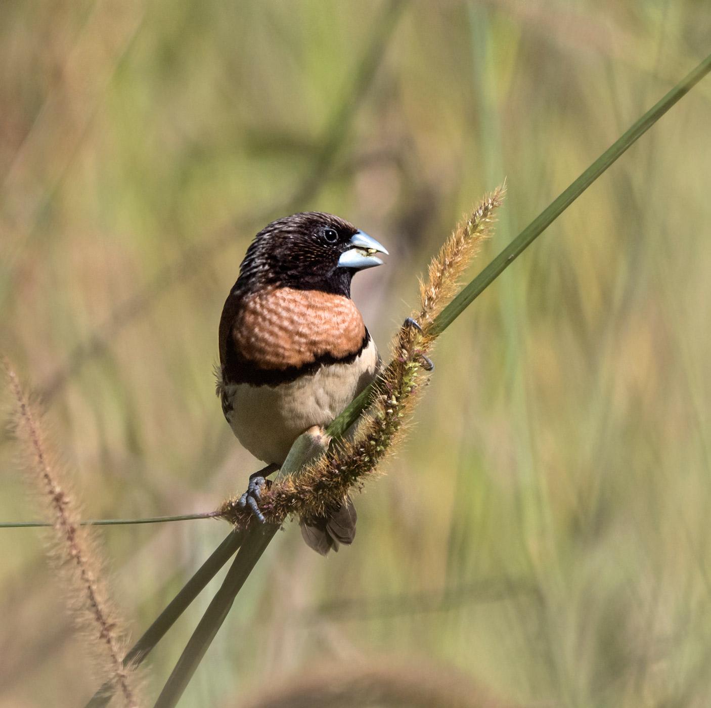 Chestnut-breasted Mannikin (Image ID 43953)