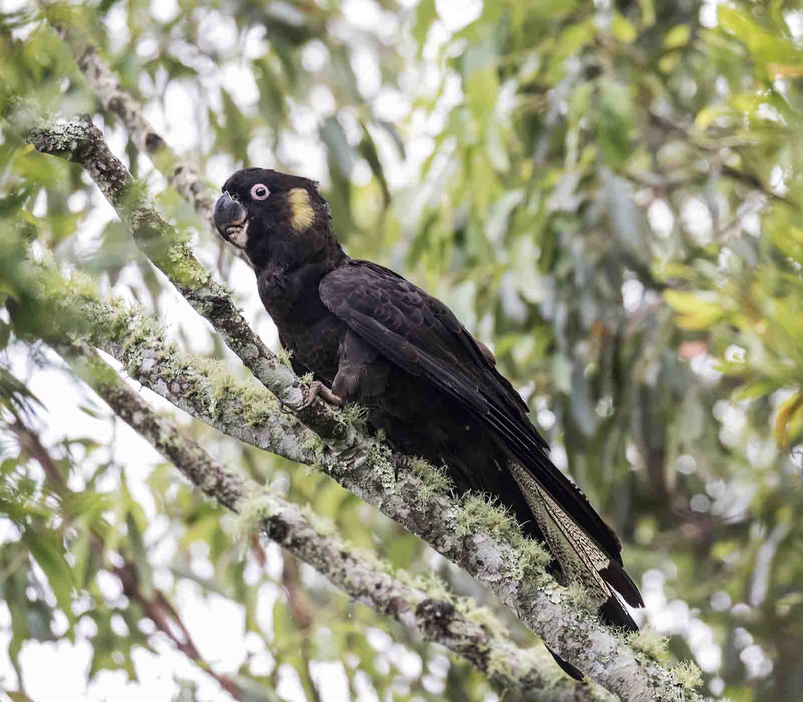 Yellow-tailed Black-Cockatoo (Image ID 43873)