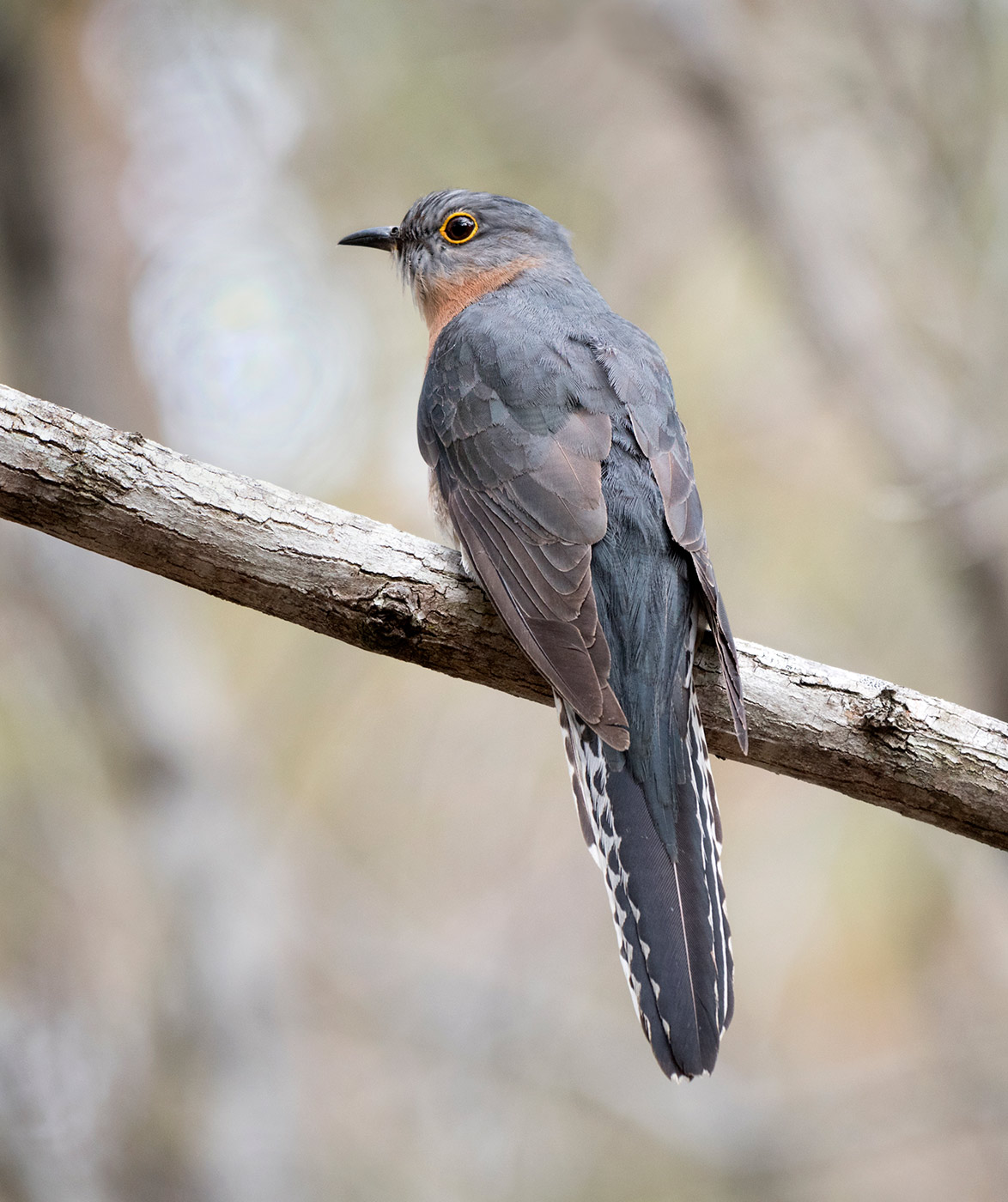 Fan-tailed Cuckoo (Image ID 43927)